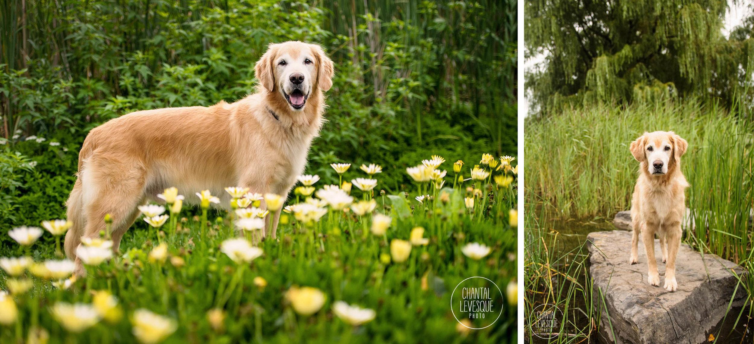 golden-retriever-portrait-park-jarry