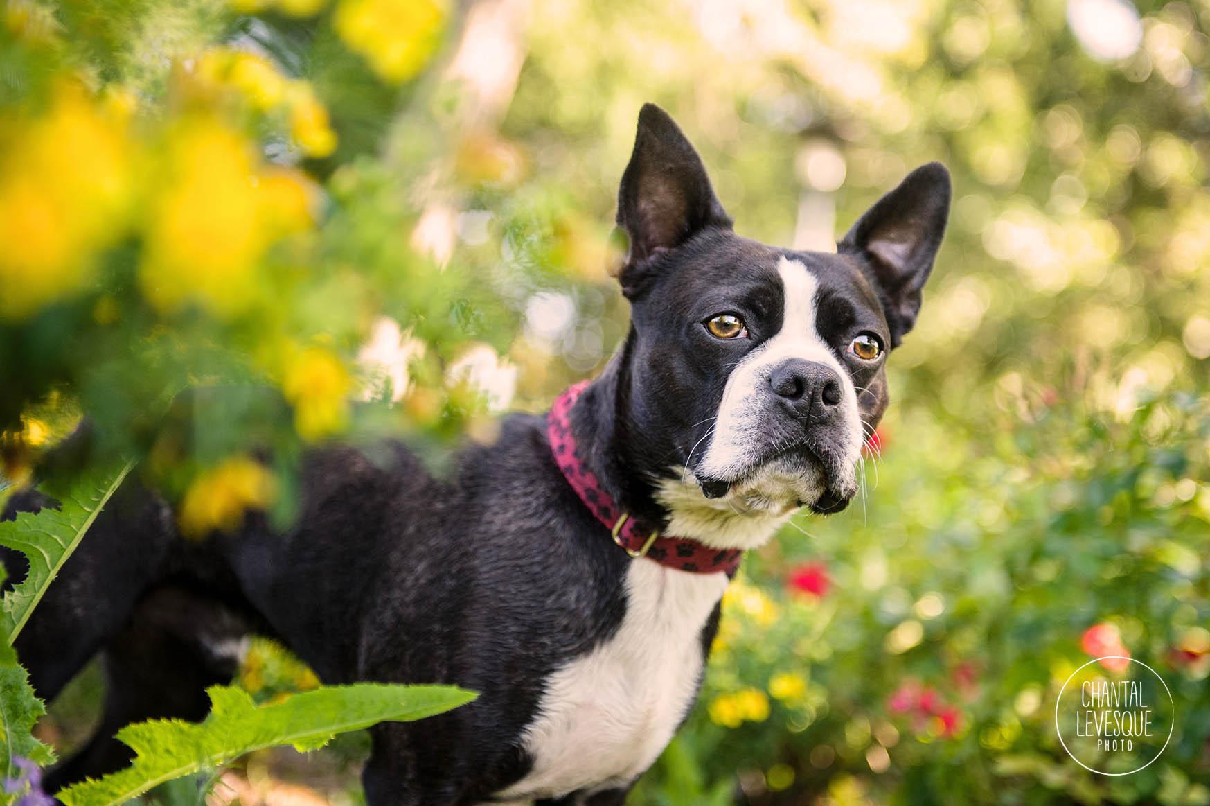 boston-terrier-flowers-jarry-parc