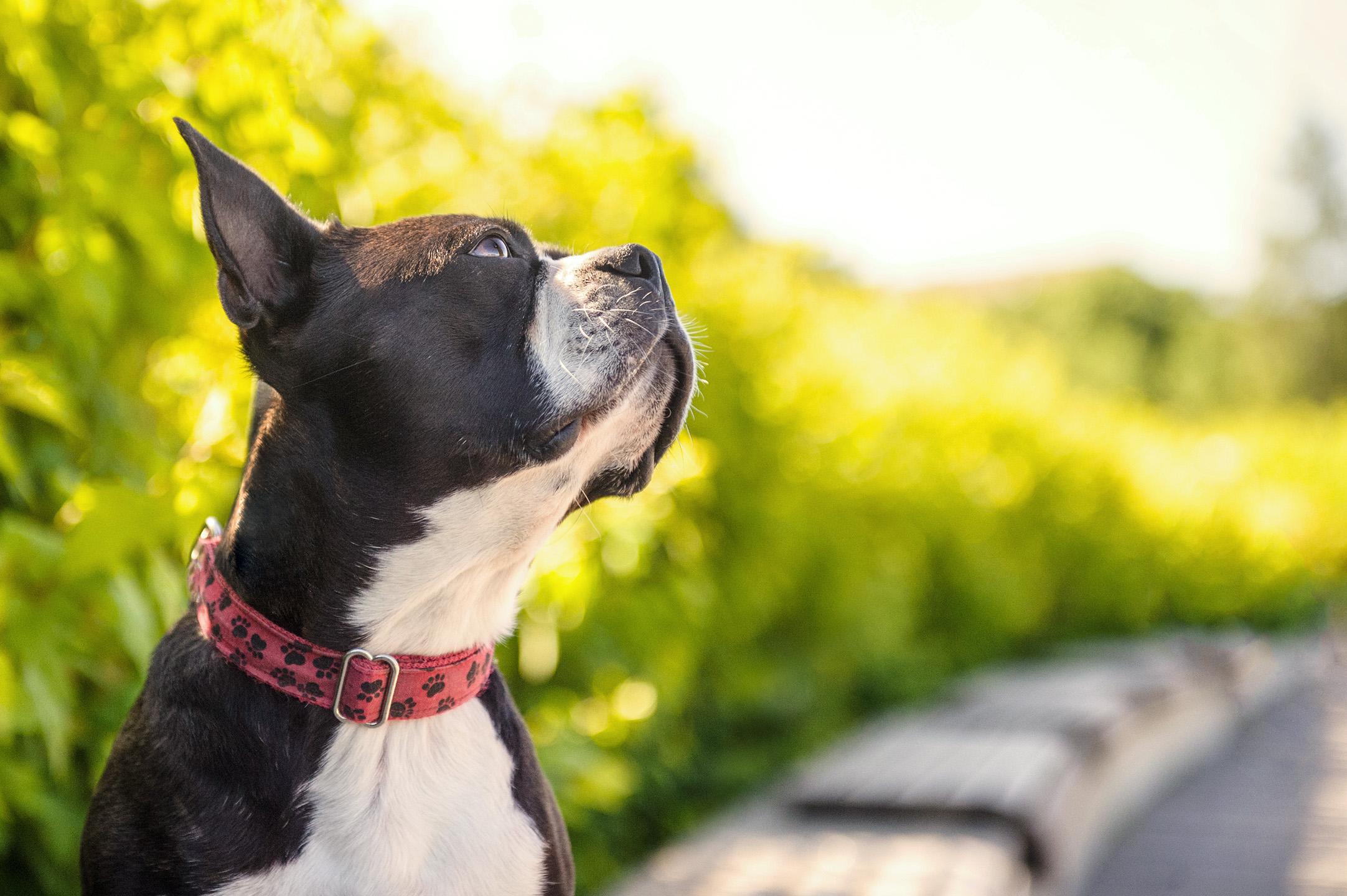 portrait-boston-terrier-montreal