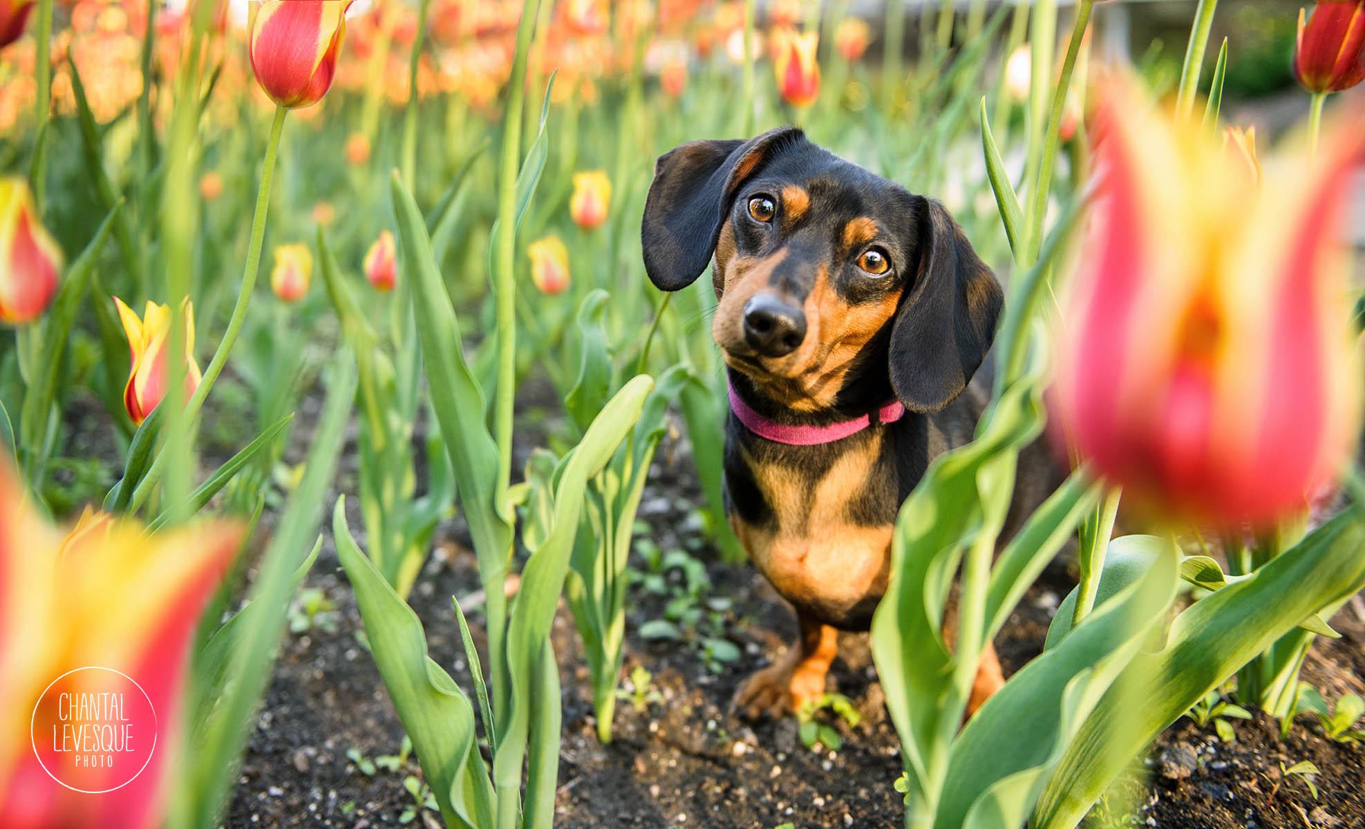 daschund-tulips-mount-royal