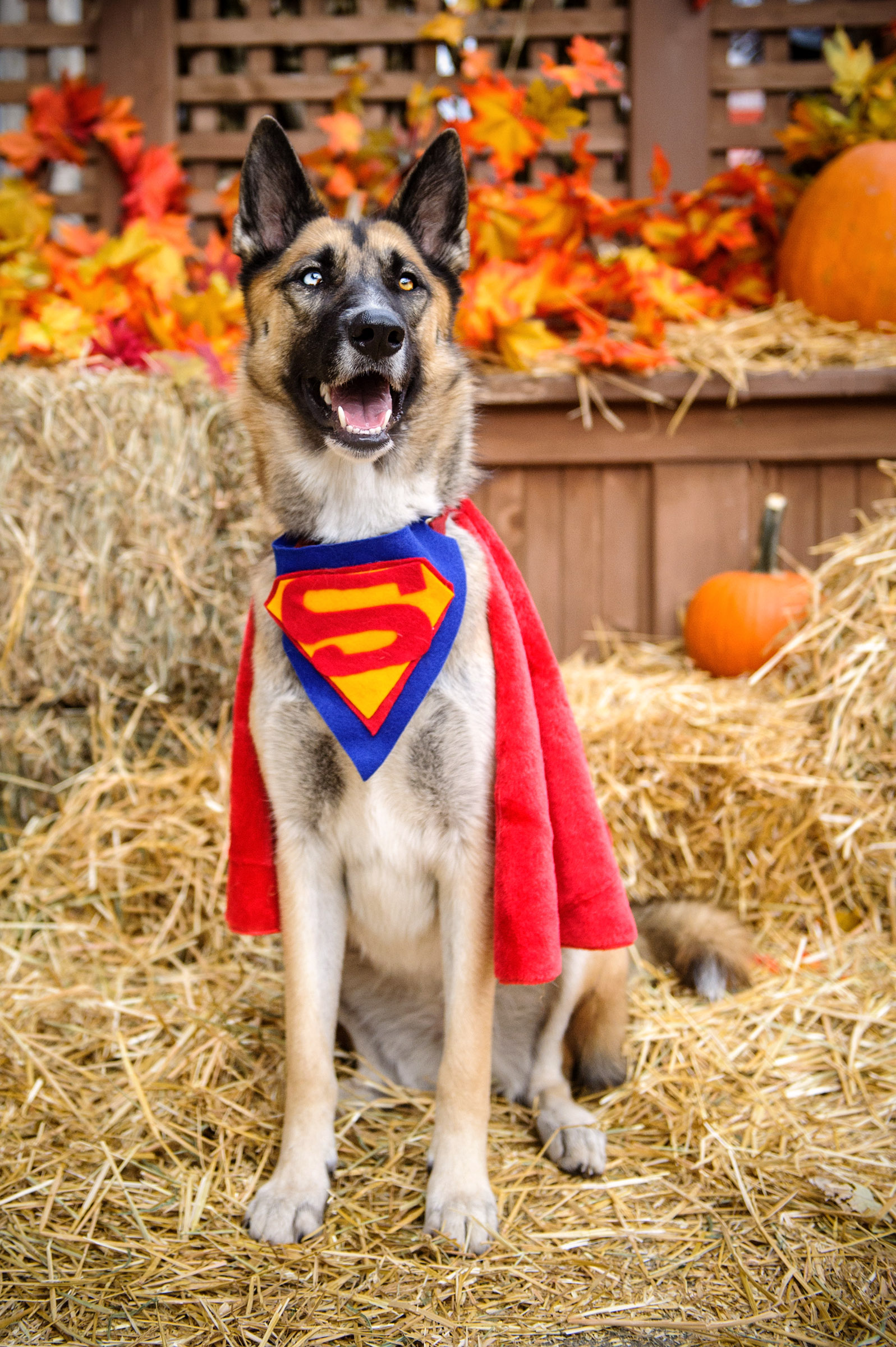 german-shepherd-superman