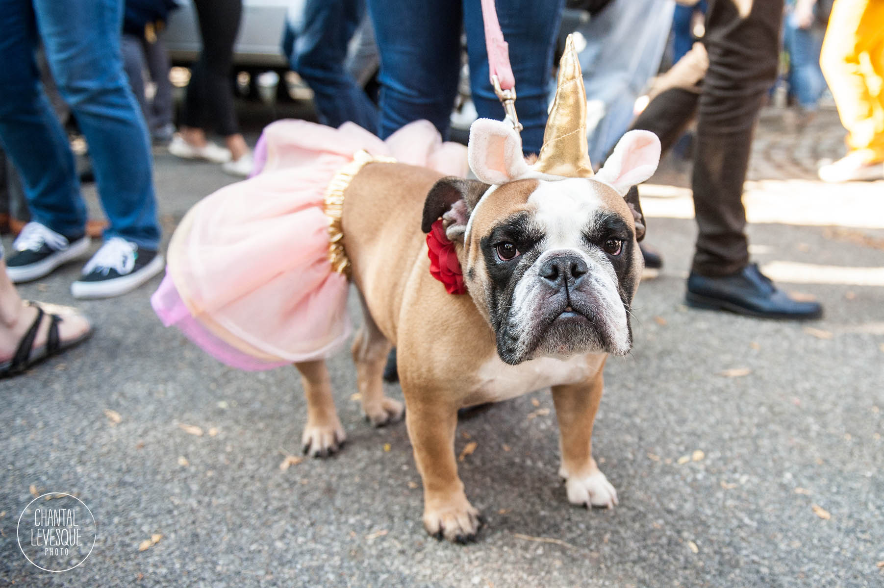 dog-photographer-bulldog-halloween.jpg