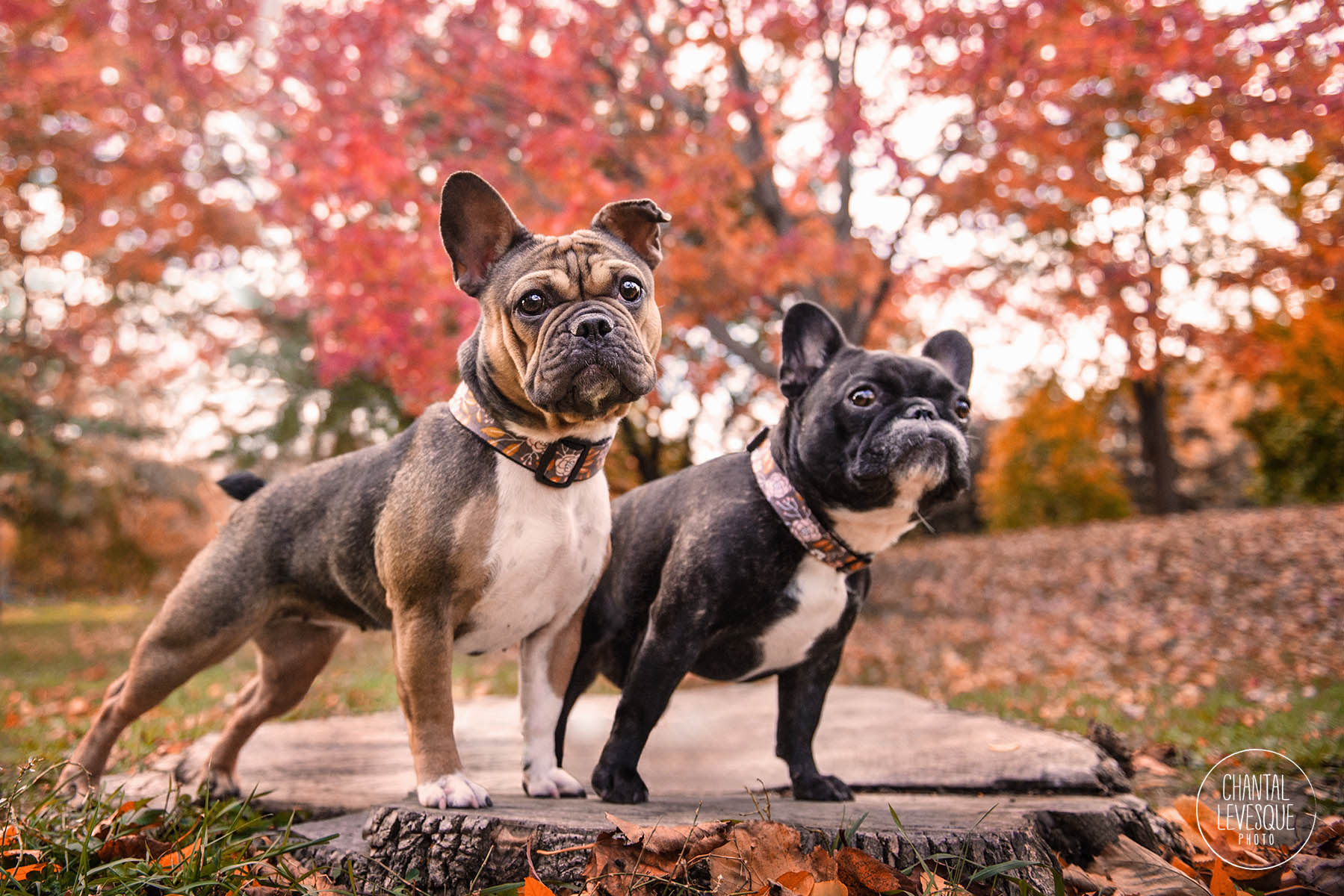 french-bulldogs-montreal-photo