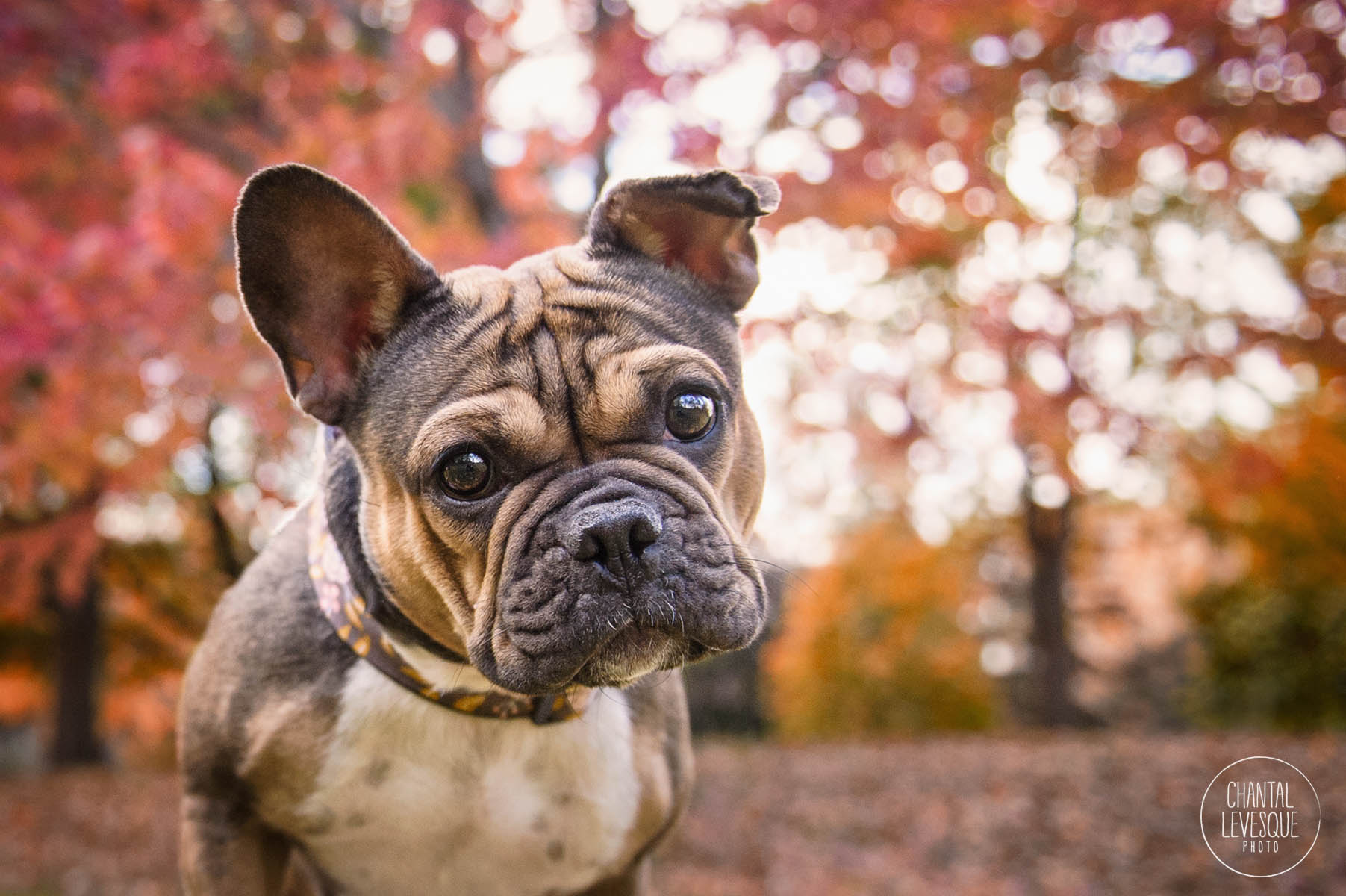 frenchie-montreal-photography.jpg