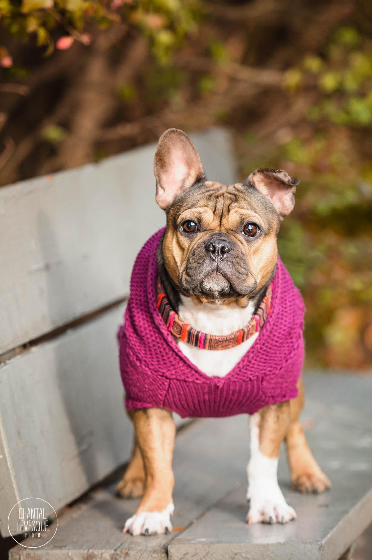 frenchie-sweater.jpg