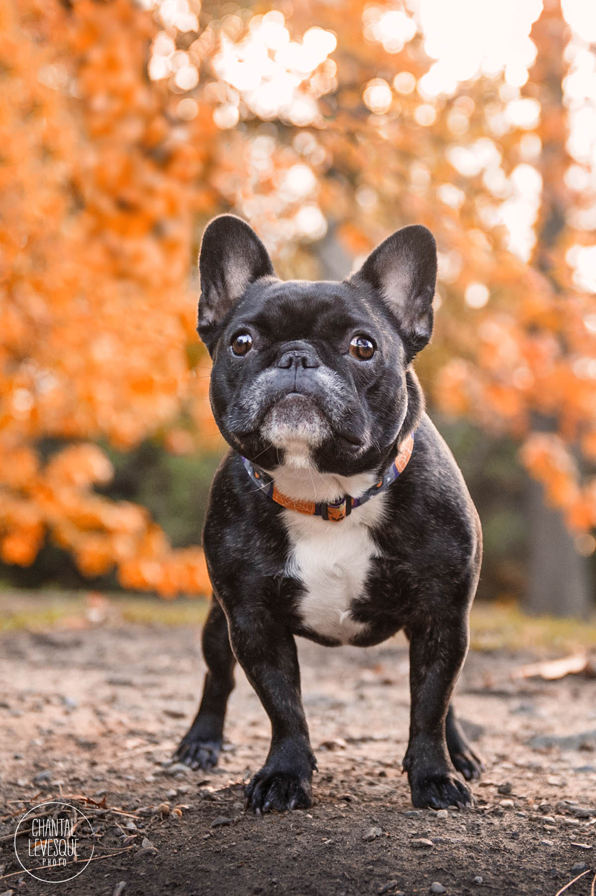 westmount-dog-photographer.jpg