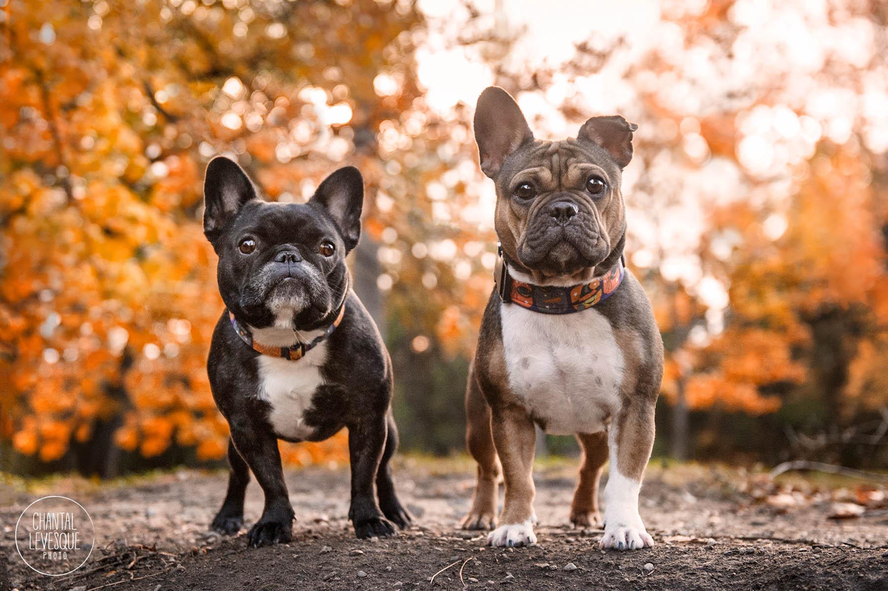 two-frenchies-fall-portrait-.jpg