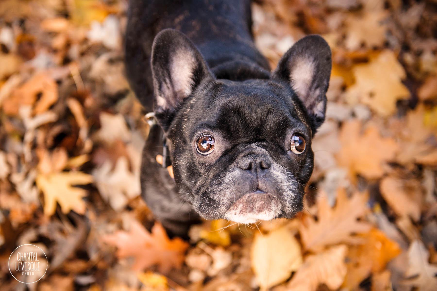 black-frenchie-fall-leaves.jpg