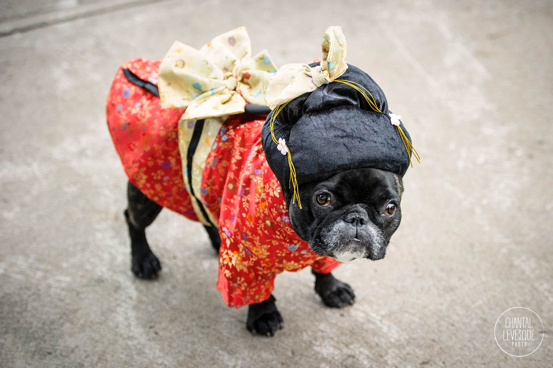 french-bulldog-geisha-costume.jpg
