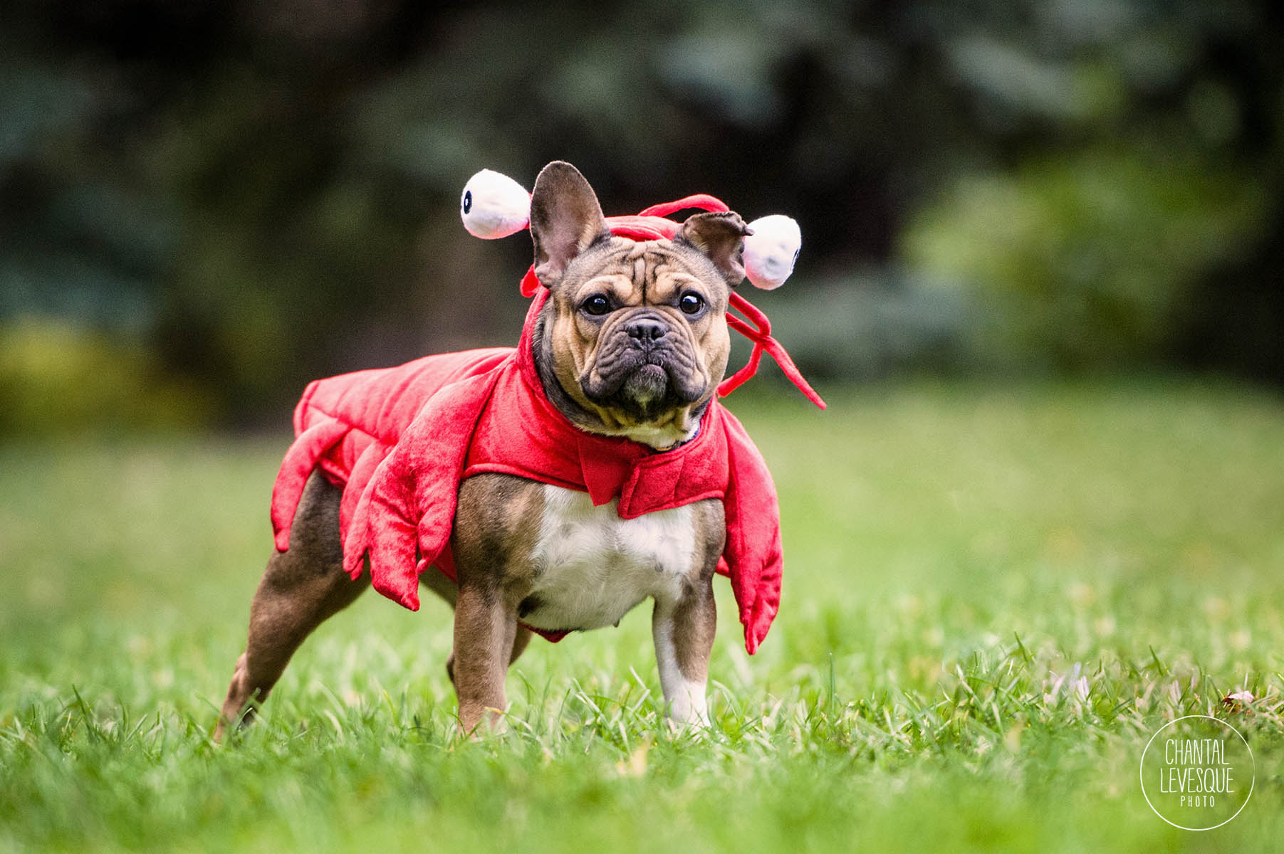 frenchie-lobster-costume-halloween