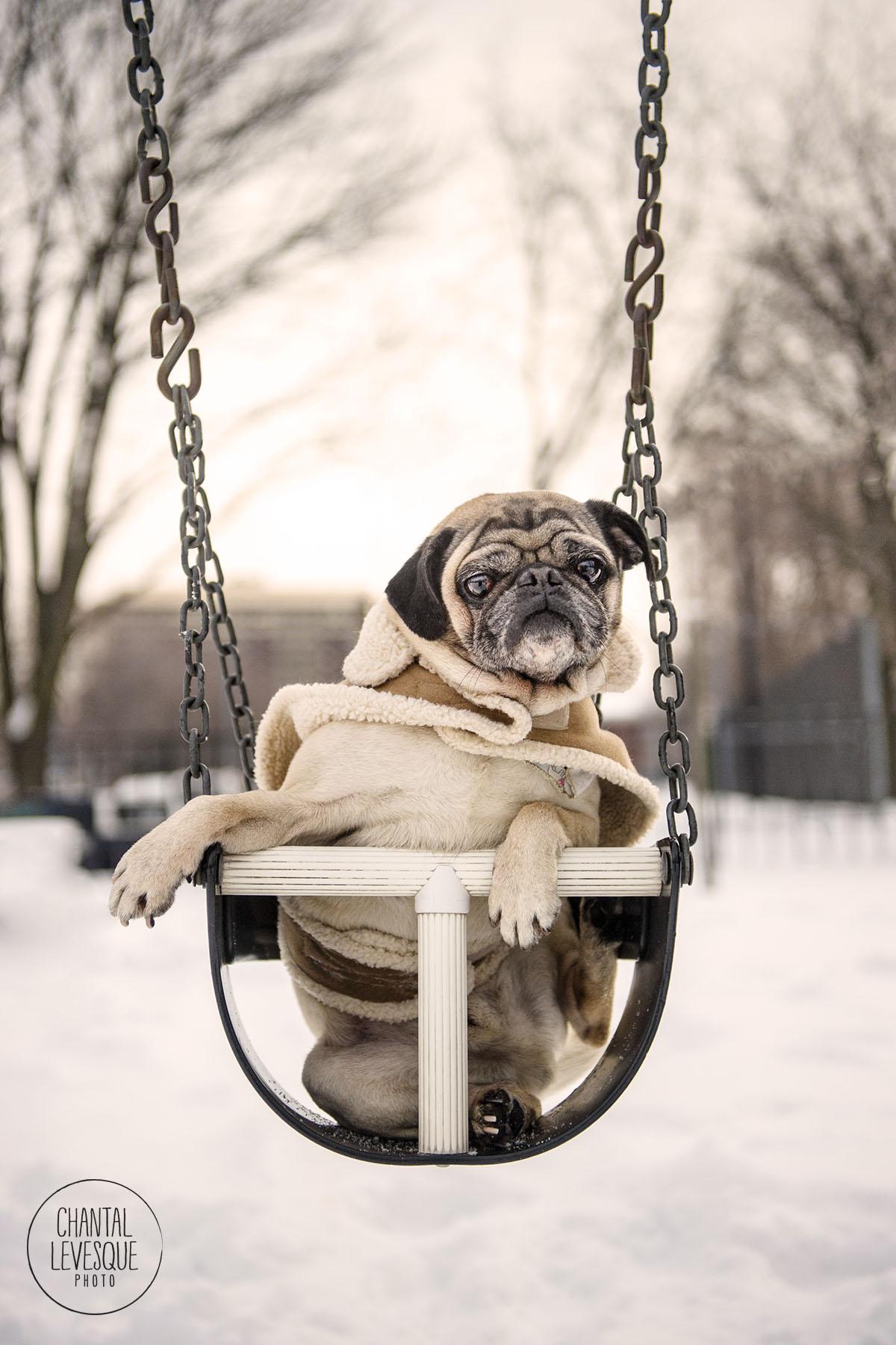 funny-pug-winter-portrait.jpg