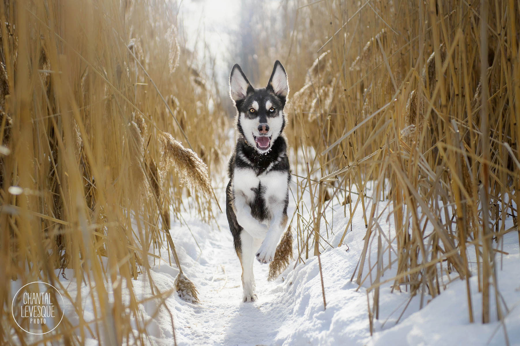 husky-neige-photographe-montreal.jpg