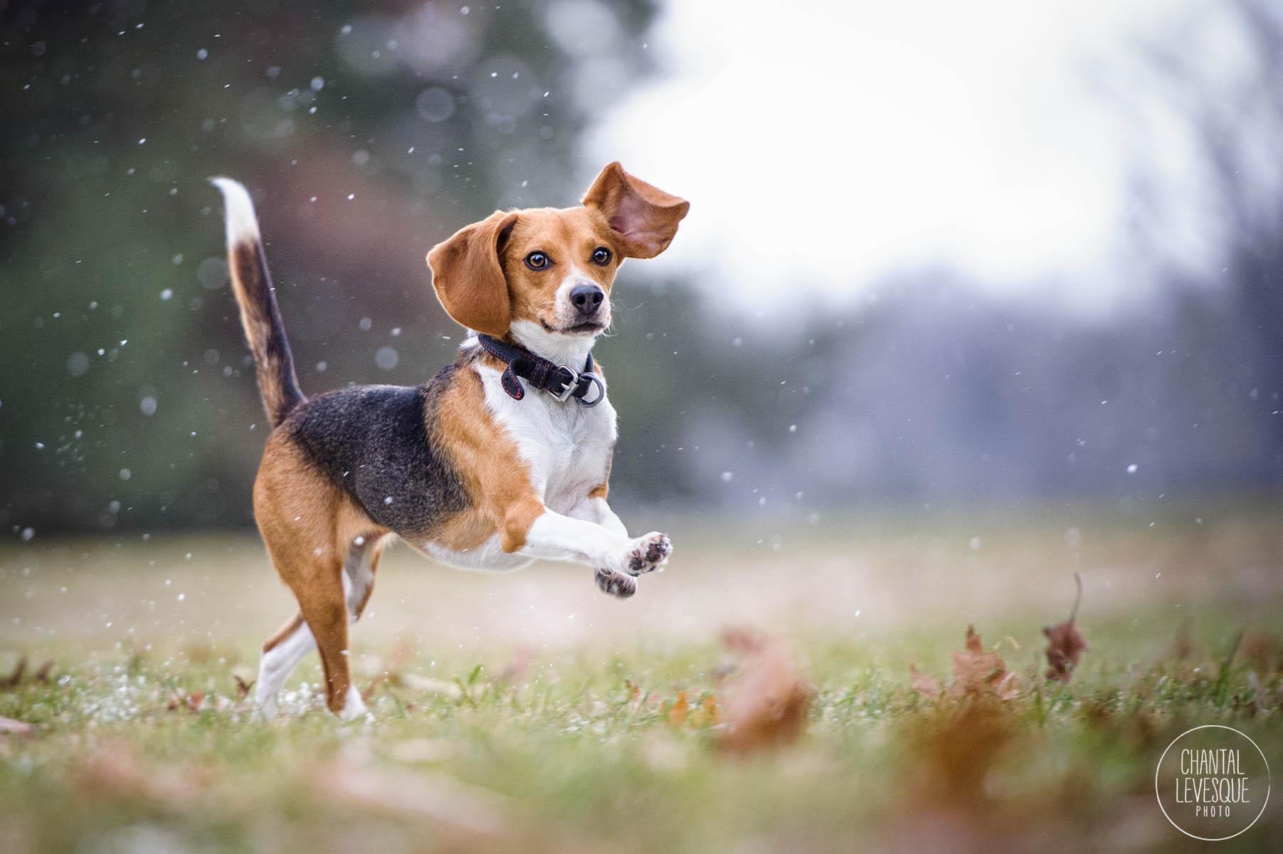 happy-beagle-parc-maisonneuve.jpg