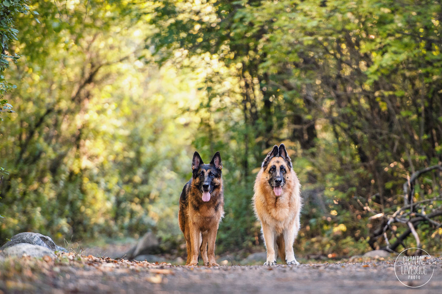 german-shepherds-forest-photography.jpg