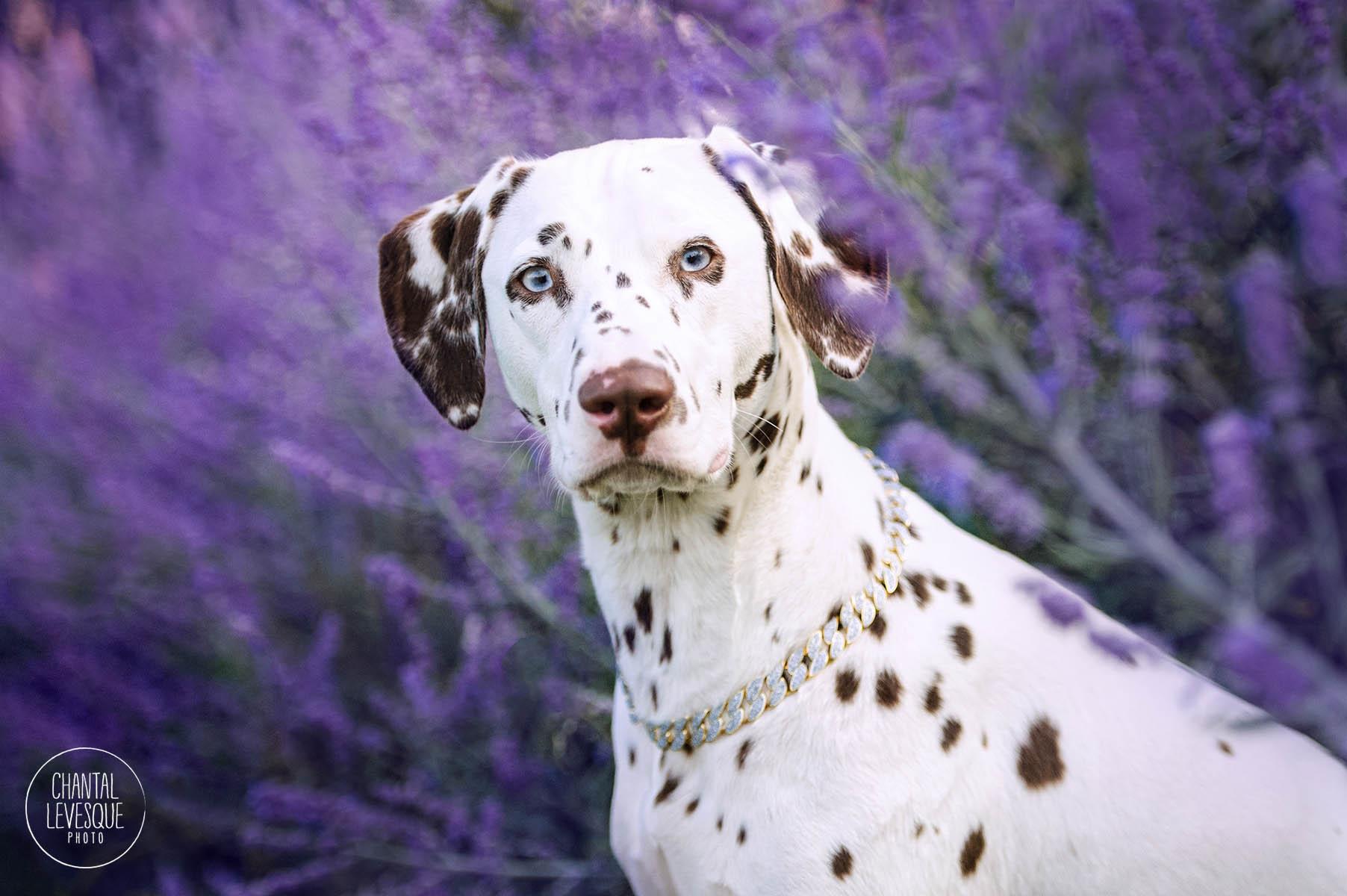 dalmatian-purple-flowers-photography.jpg