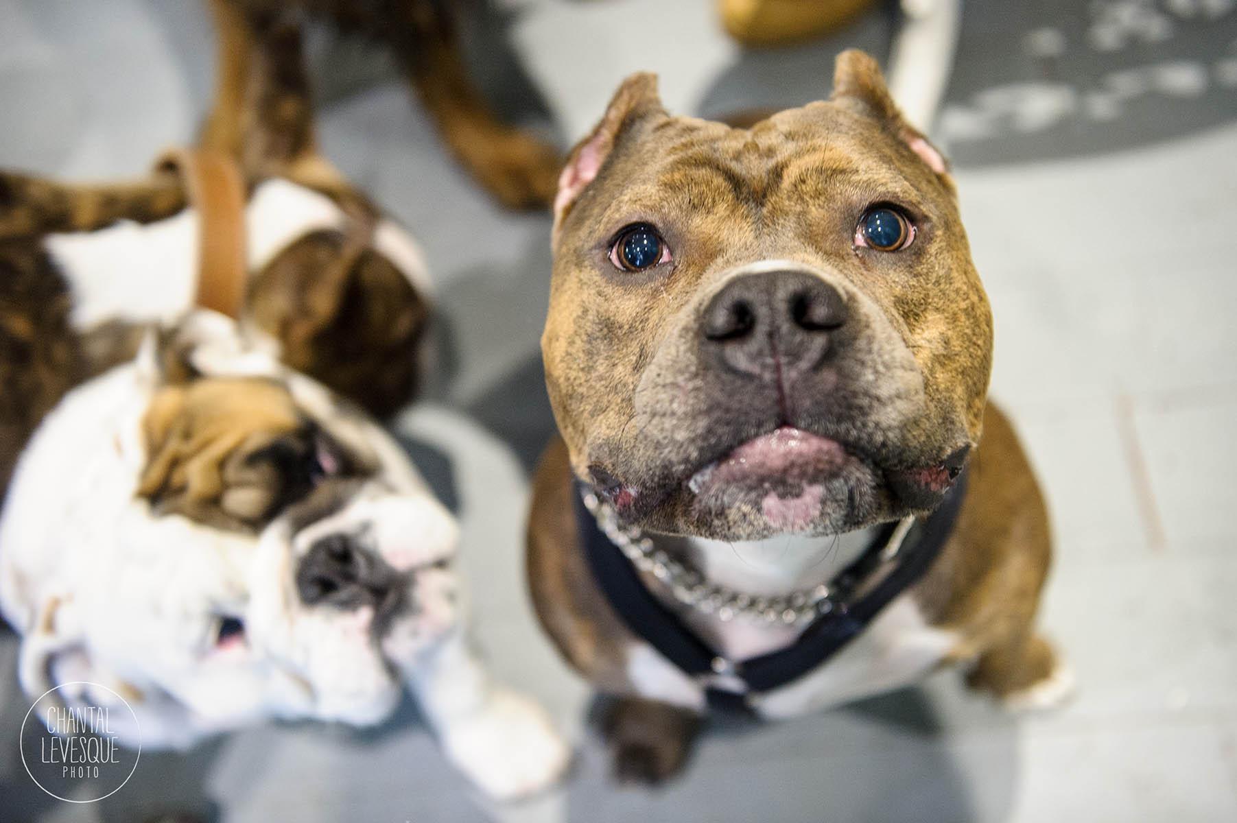 Doggy-casting-pitbulls-4638.jpg