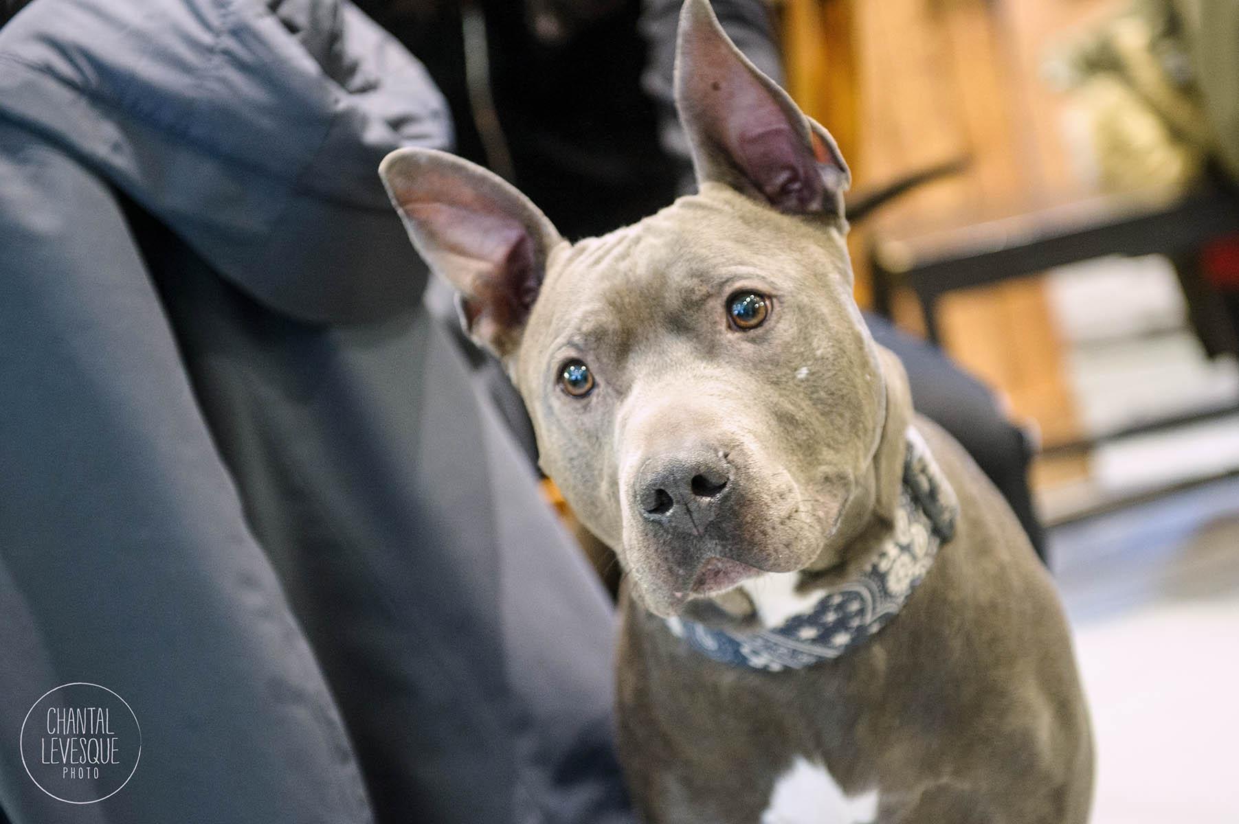 Doggy-casting-pitbulls-4629.jpg