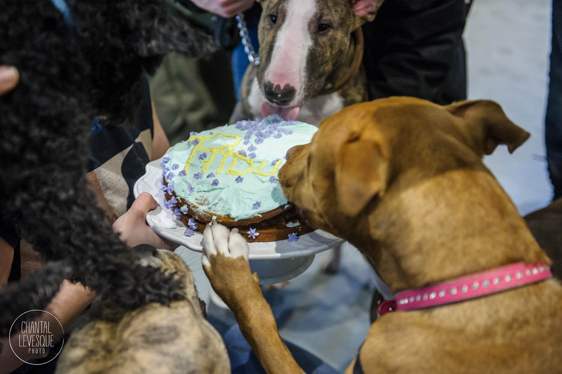 Doggy-casting-pitbulls-4747.jpg