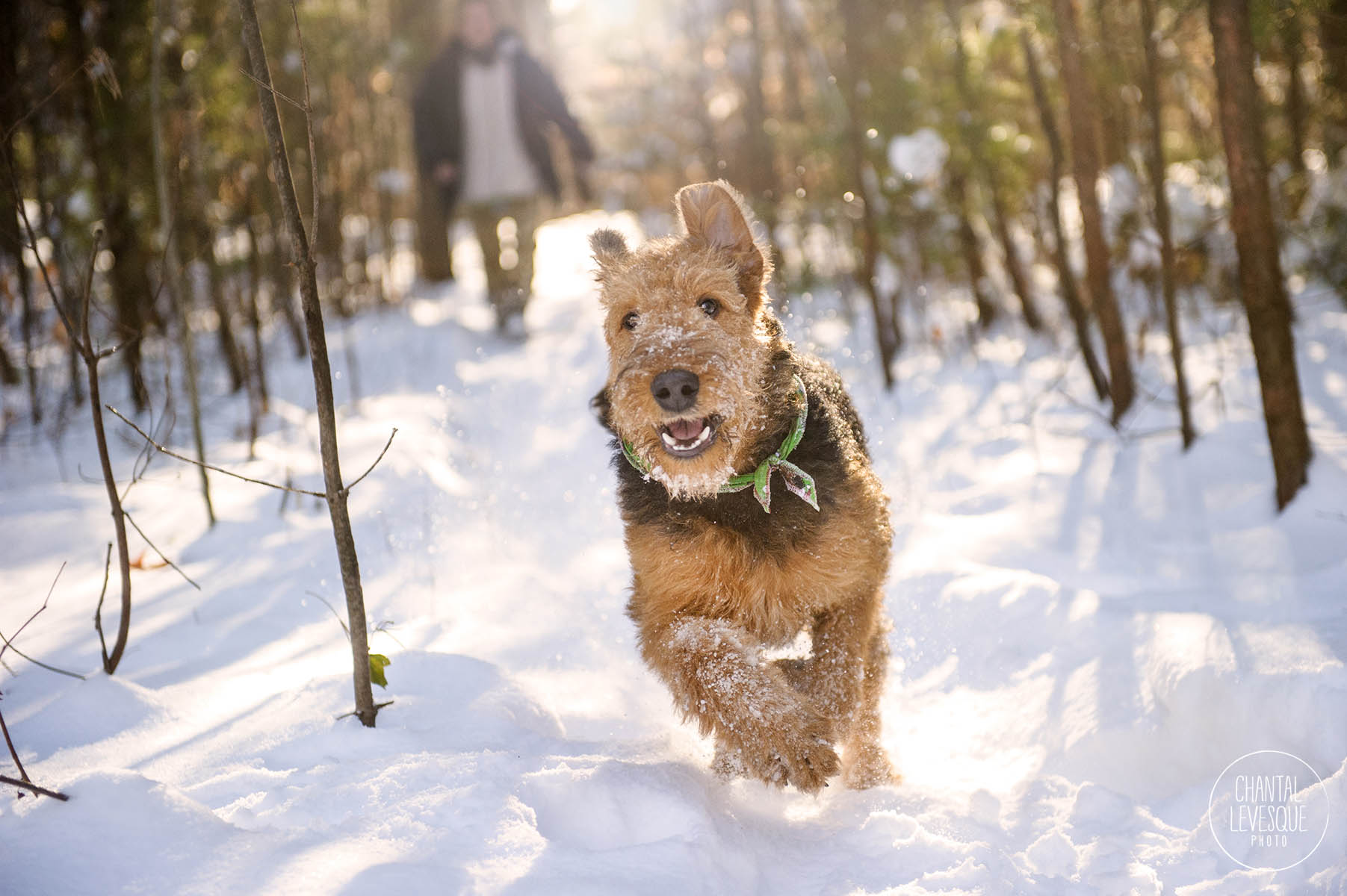 airdale-terrier-snow-photography-montreal.jpg