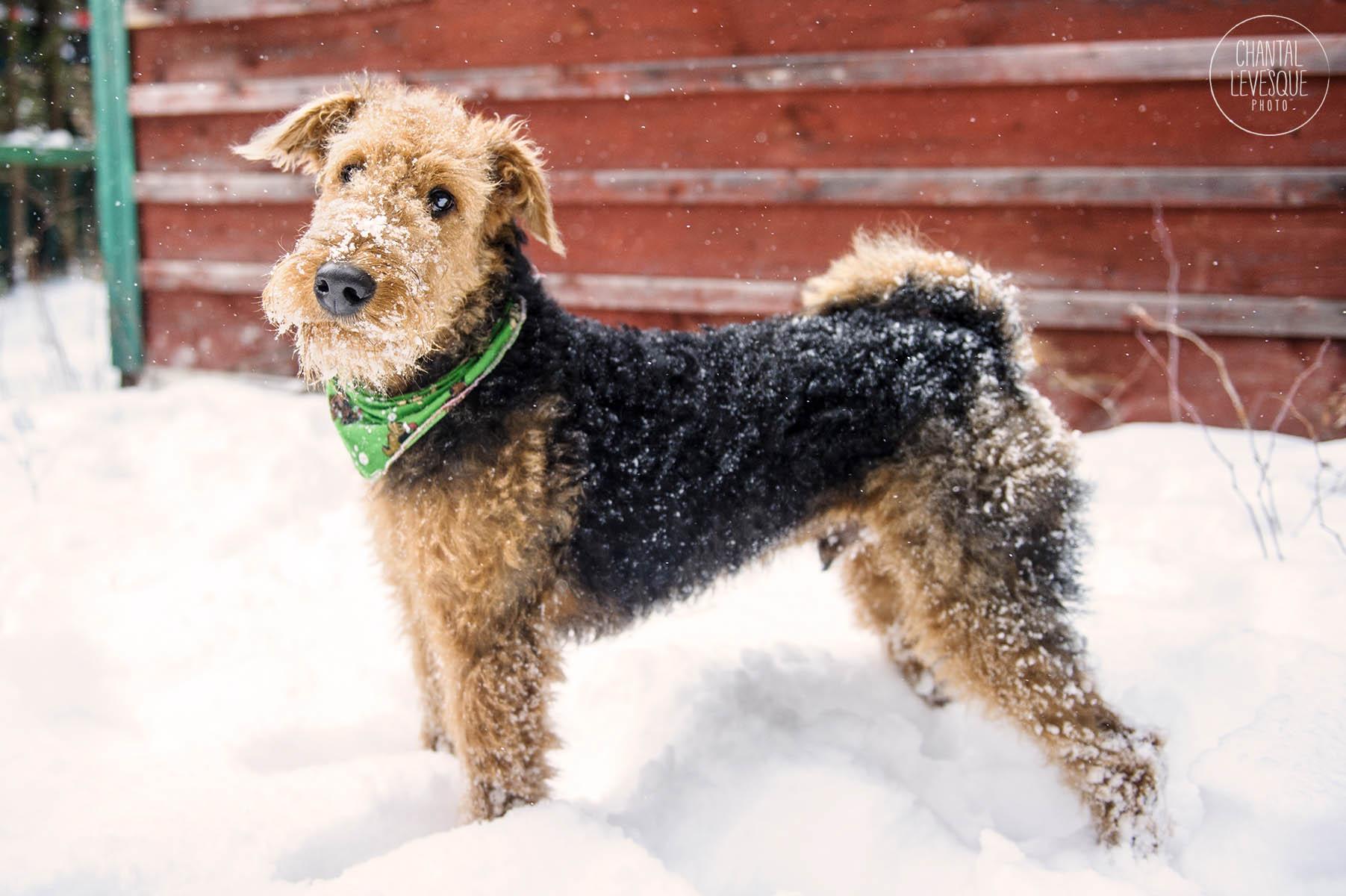 airdale-terrier-portrait.jpg