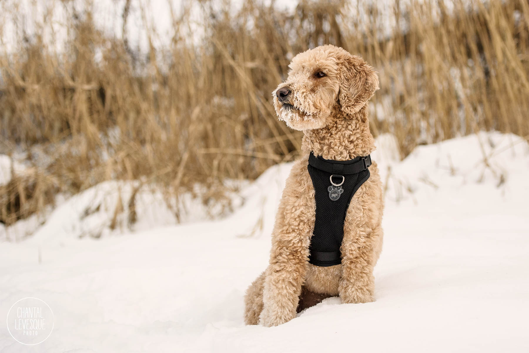 goldendoodle-photography-montreal.jpg