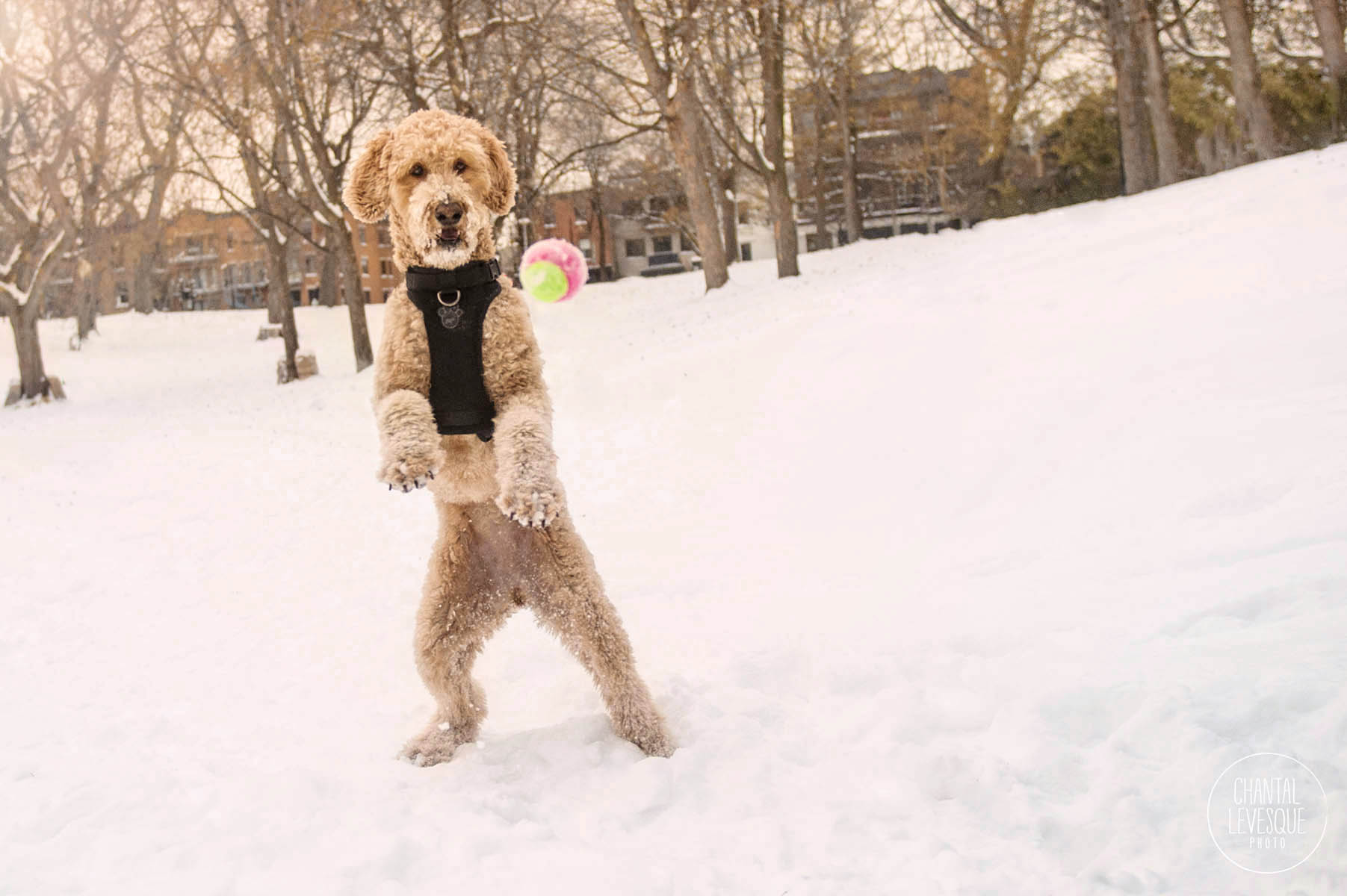 doodle-playing-snow-park-lafontaine-photo.jpg