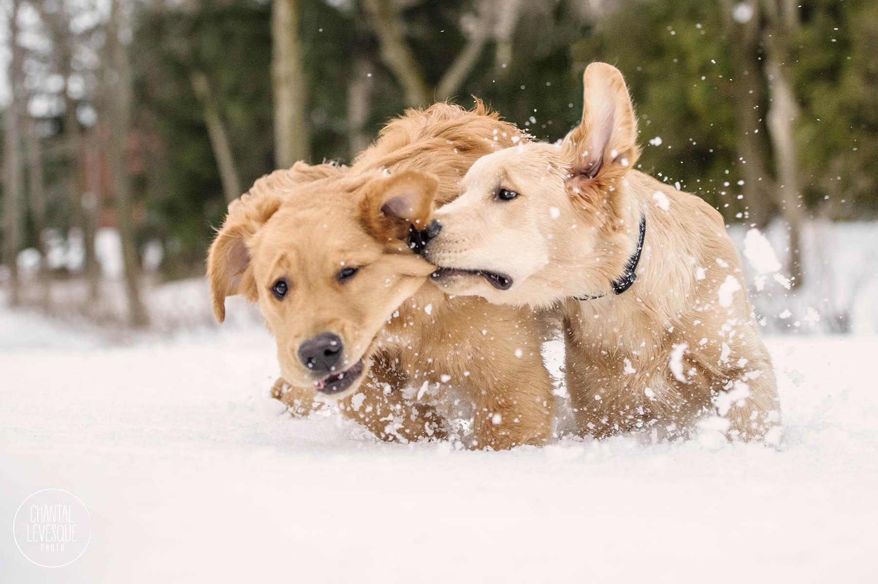 chiots-jouer-neige-photographie-quebec.jpg