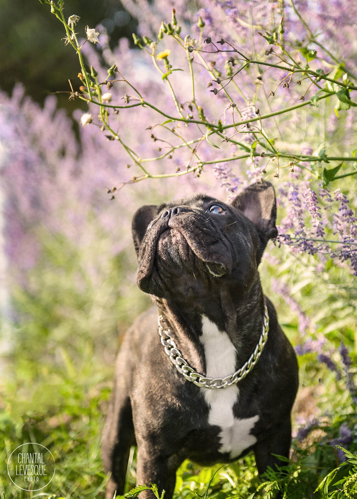 frenchie-lavander-photography.jpg