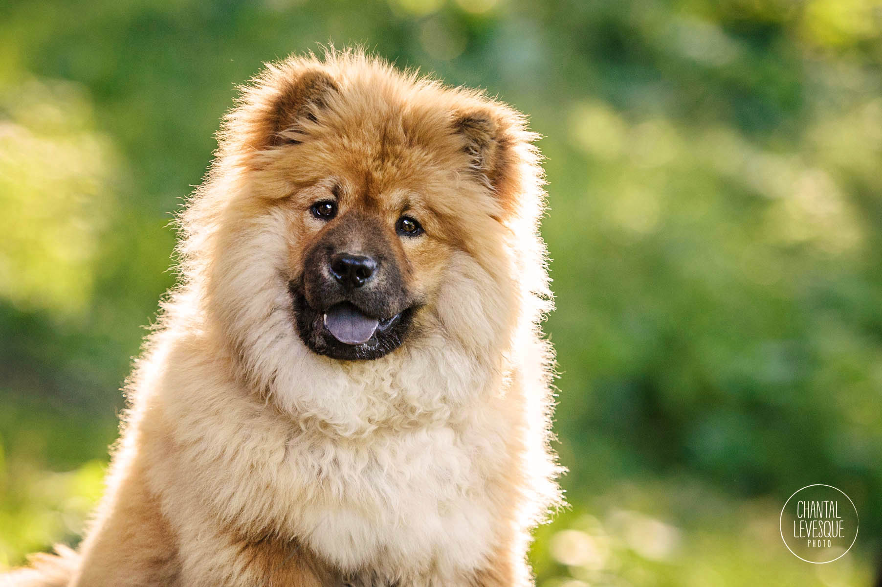 Chow-Chow-puppy-photography-Montreal.jpg