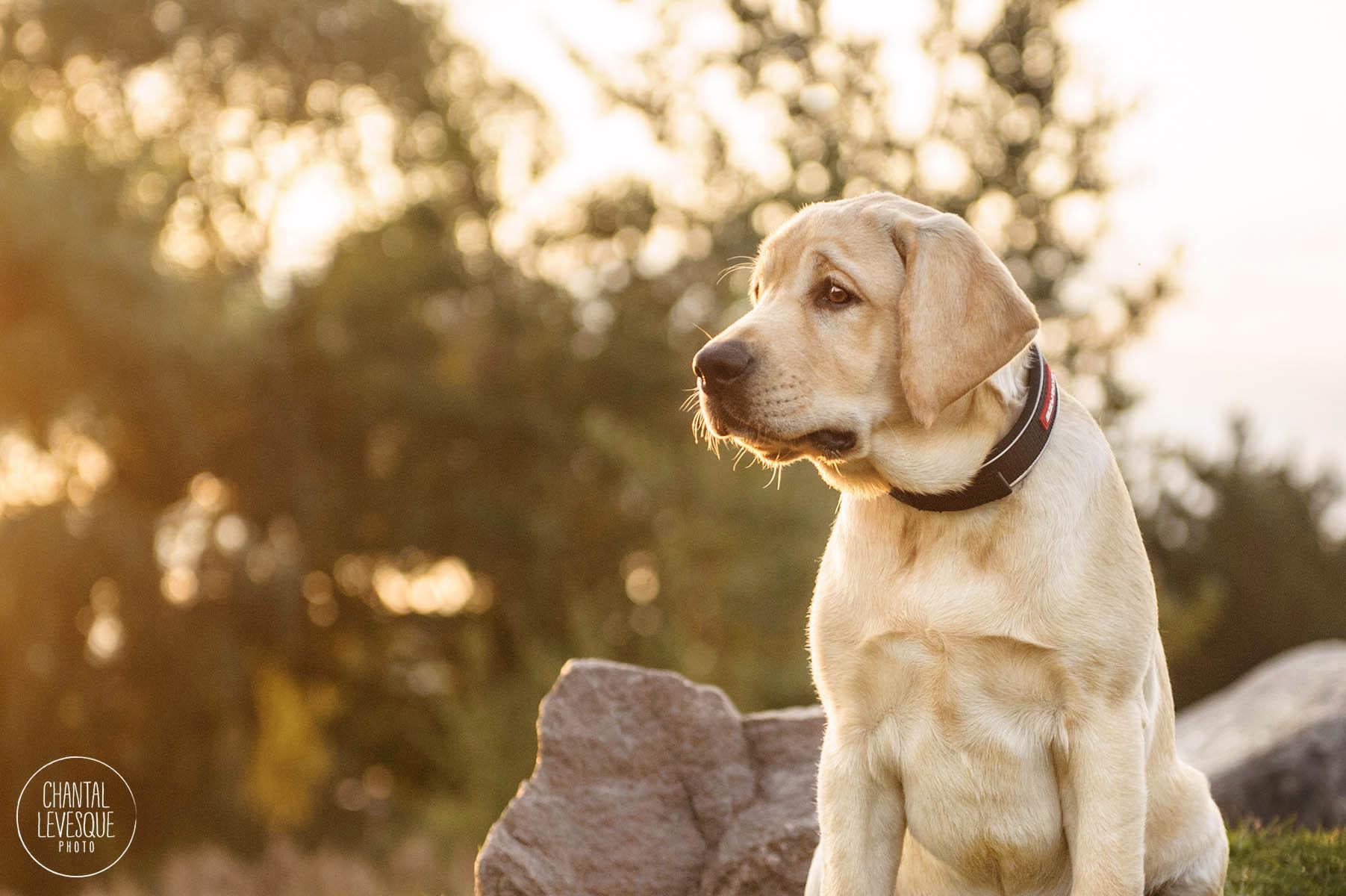 labrador-puppy-sunrise-photography.jpg