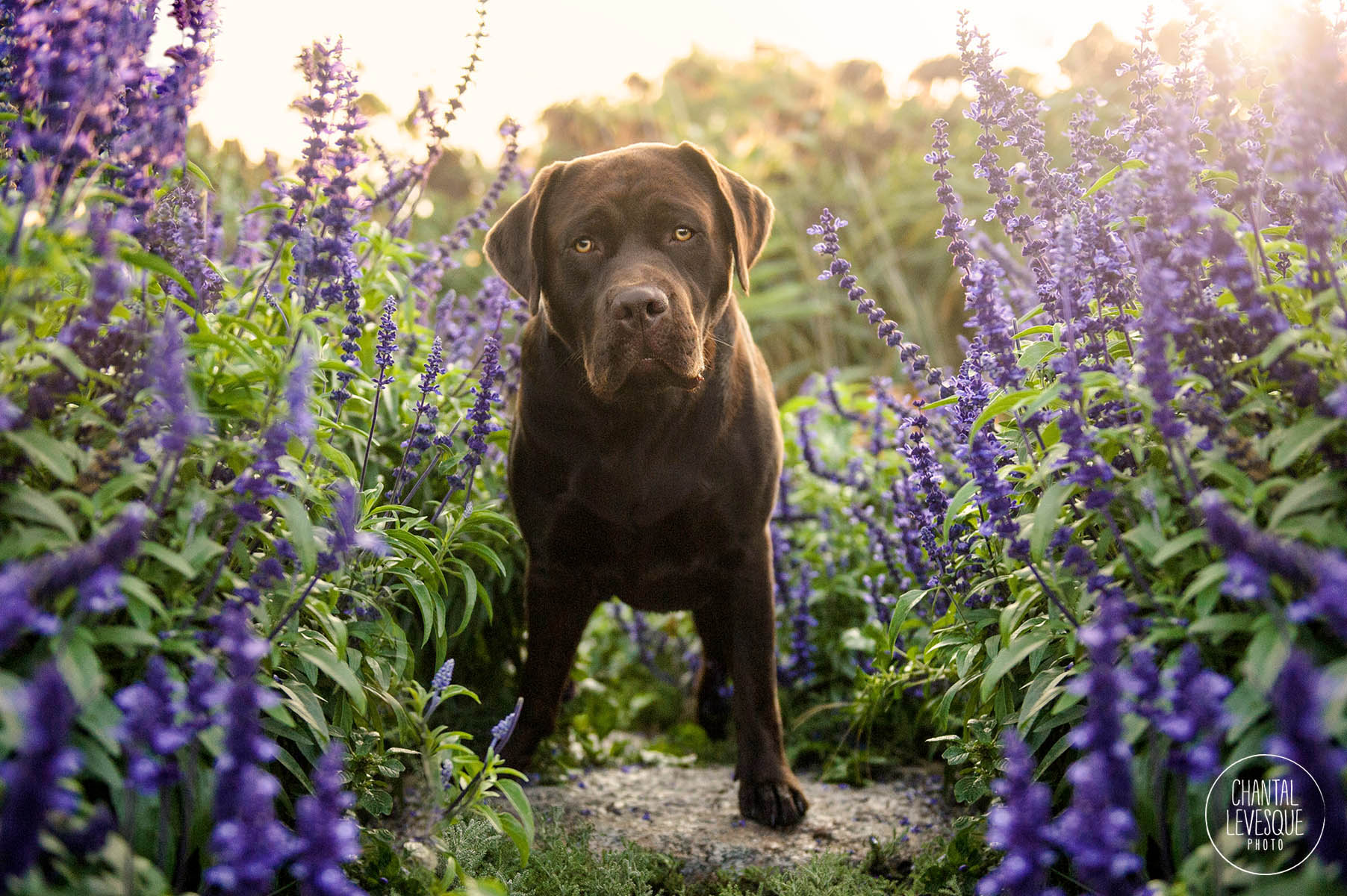 chocolate-lab-professional-photography-mtl.jpg