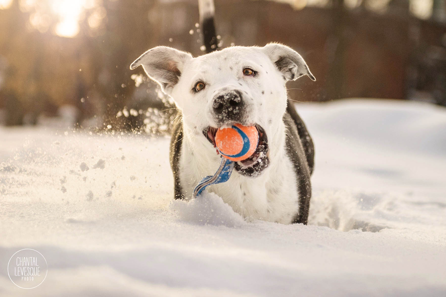 sunset-snow-photo-session-pitbull-montreal.jpg
