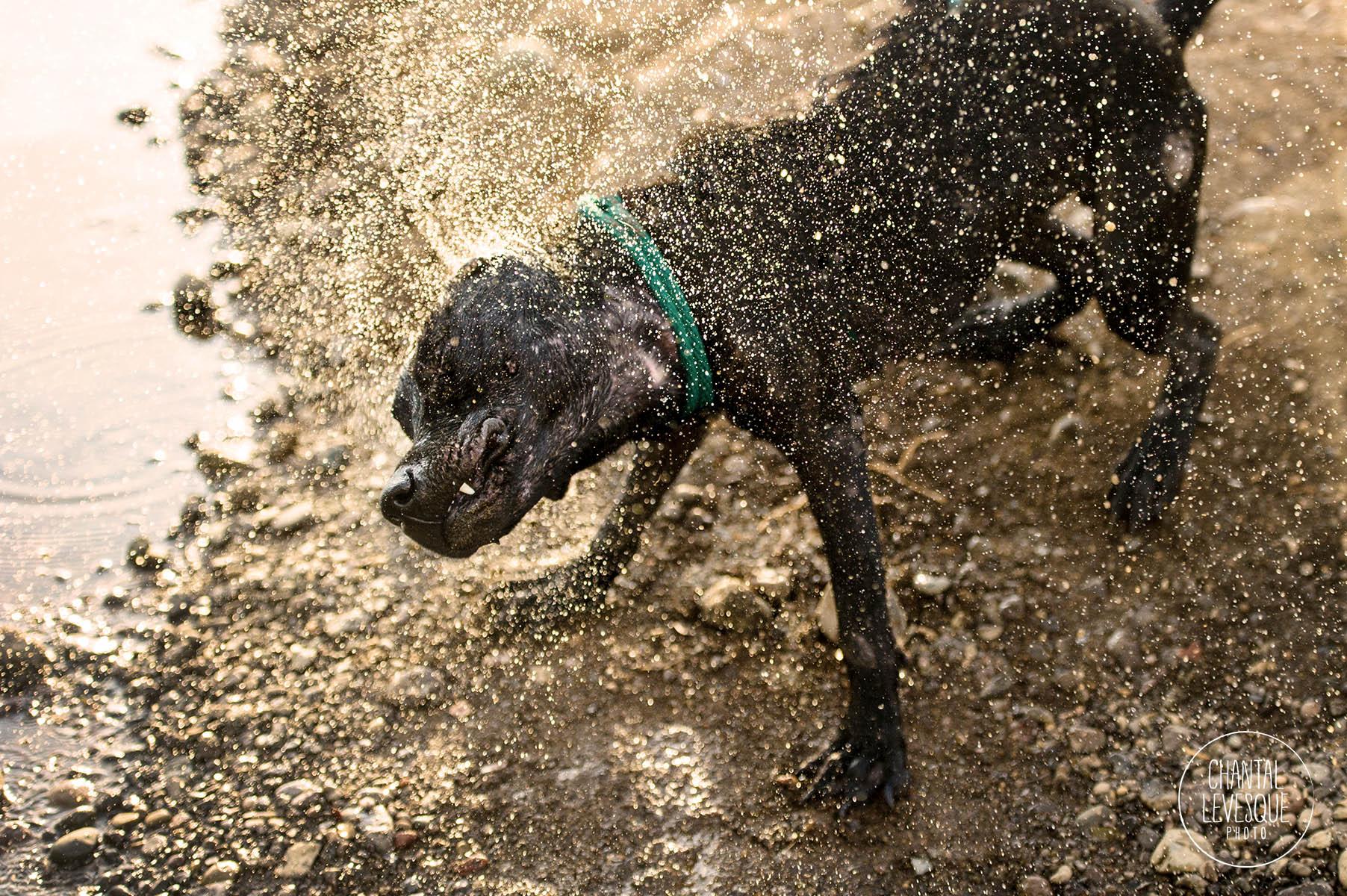 pitbull-shake-water-photography.jpg