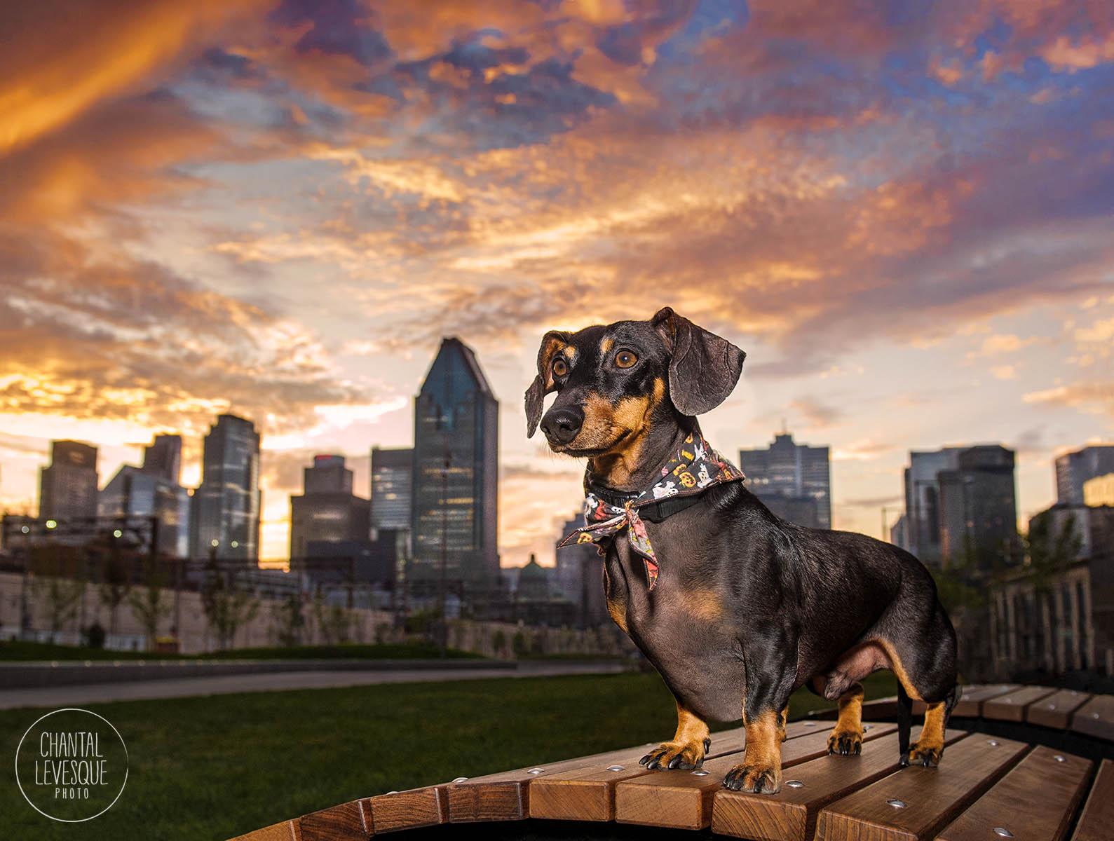 sunset-city-wiener-dog-portrait.jpg