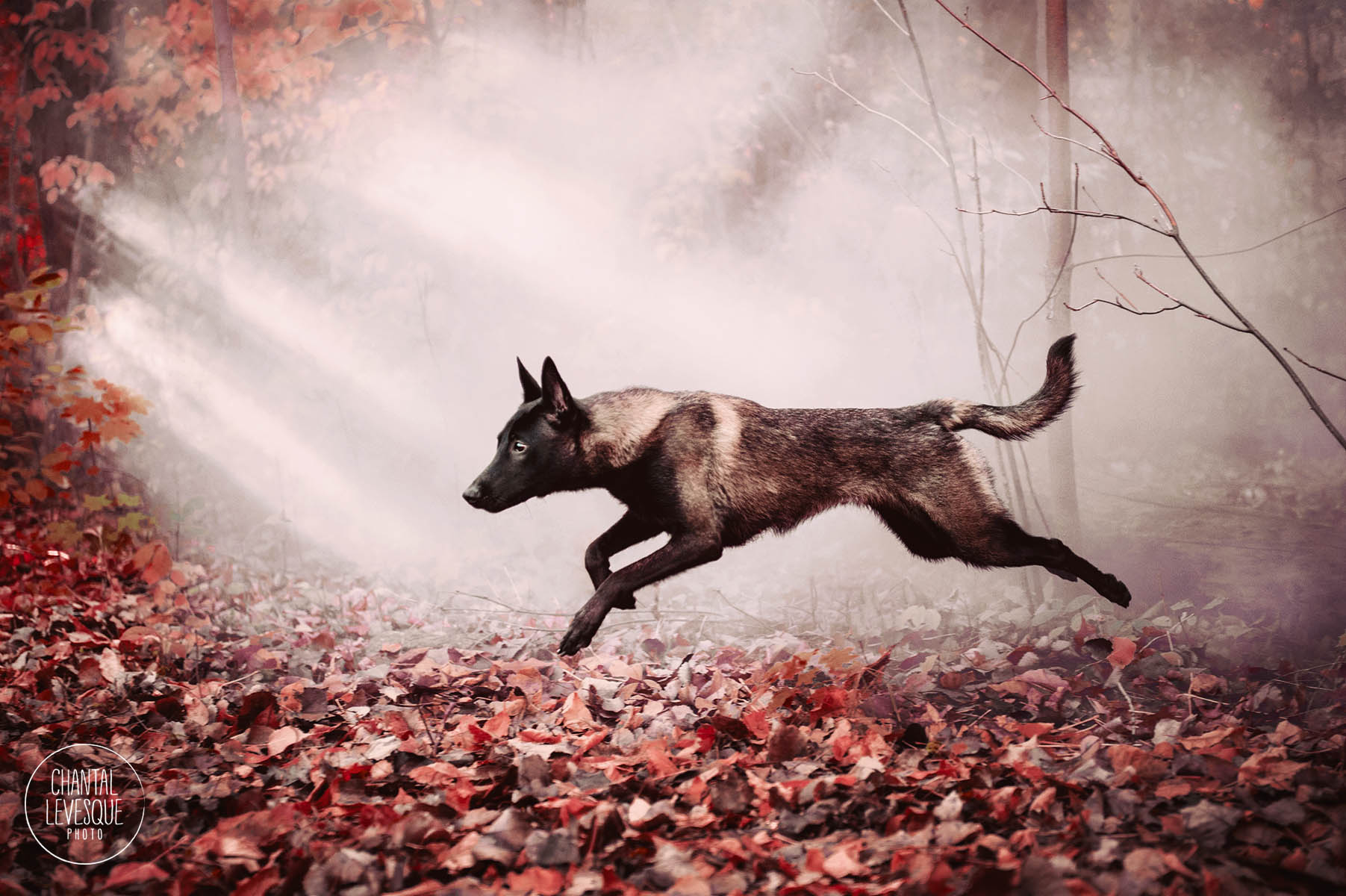 dog-jump-foggy-woods-fall.jpg
