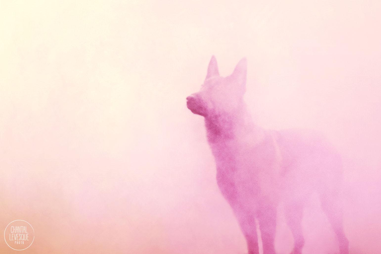 shepherd-pink-smoke-photo.jpg