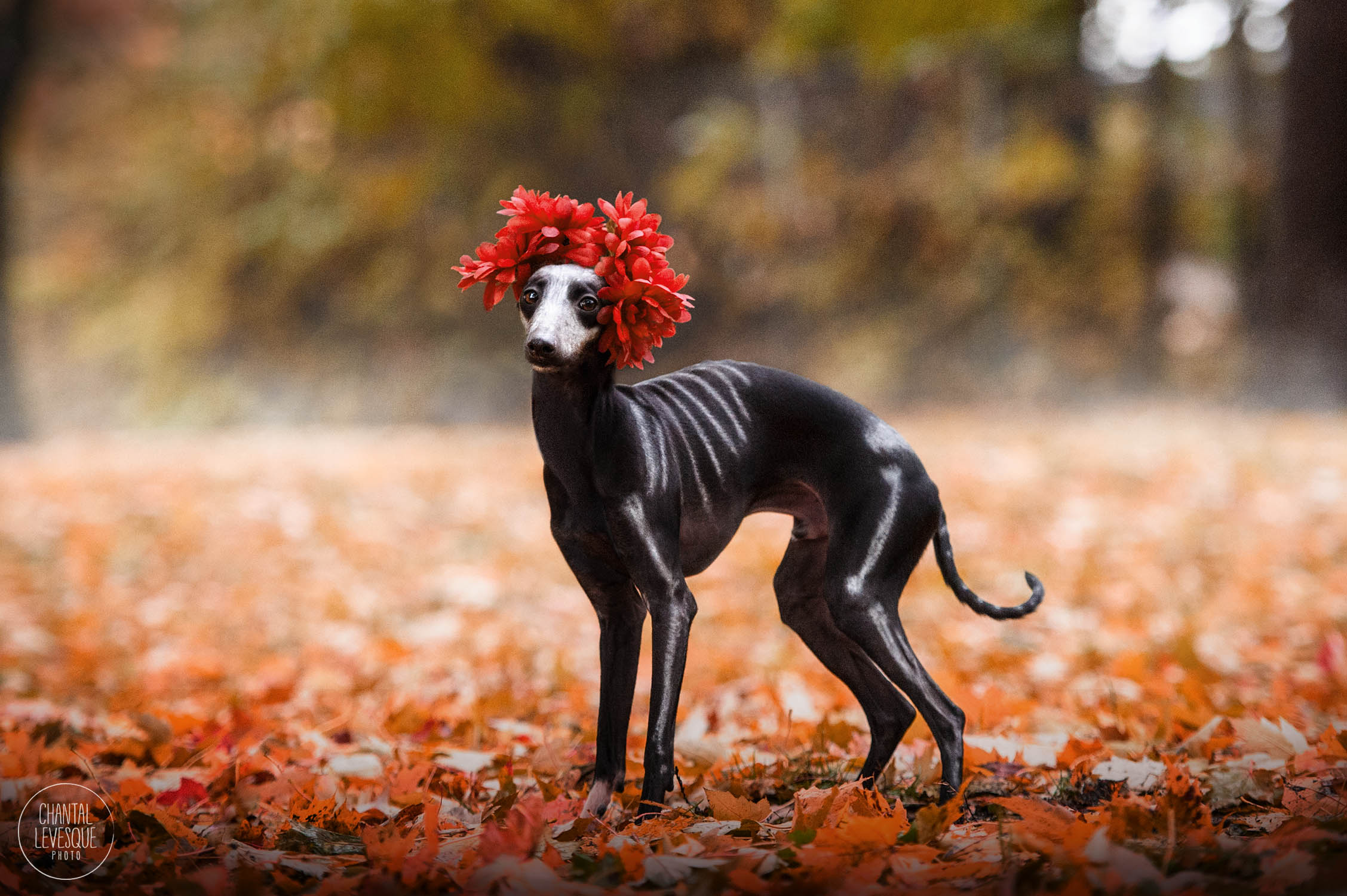fall-hound-photo-shoot-montreal.jpg