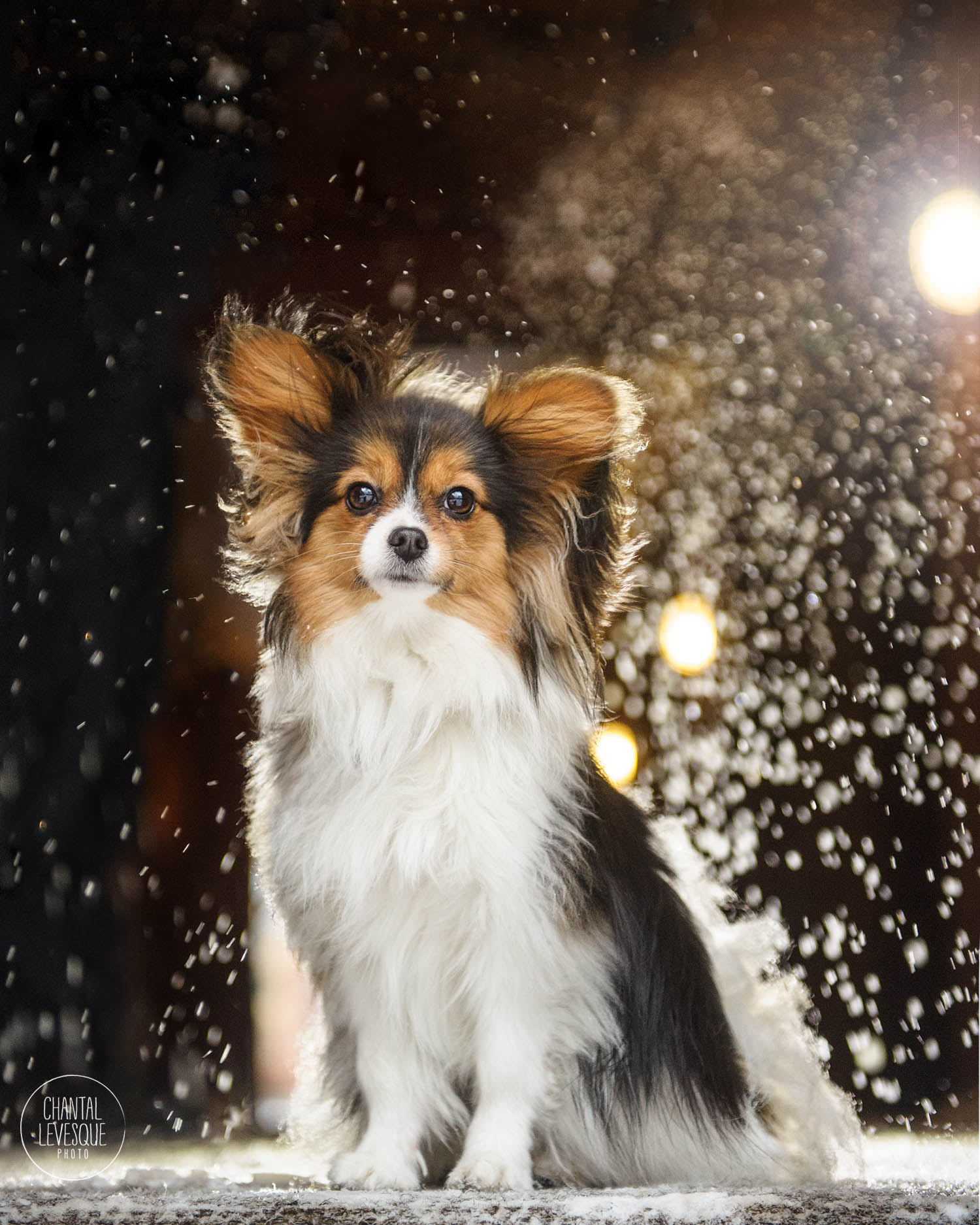 papillon-snow-lights-portrait.jpg