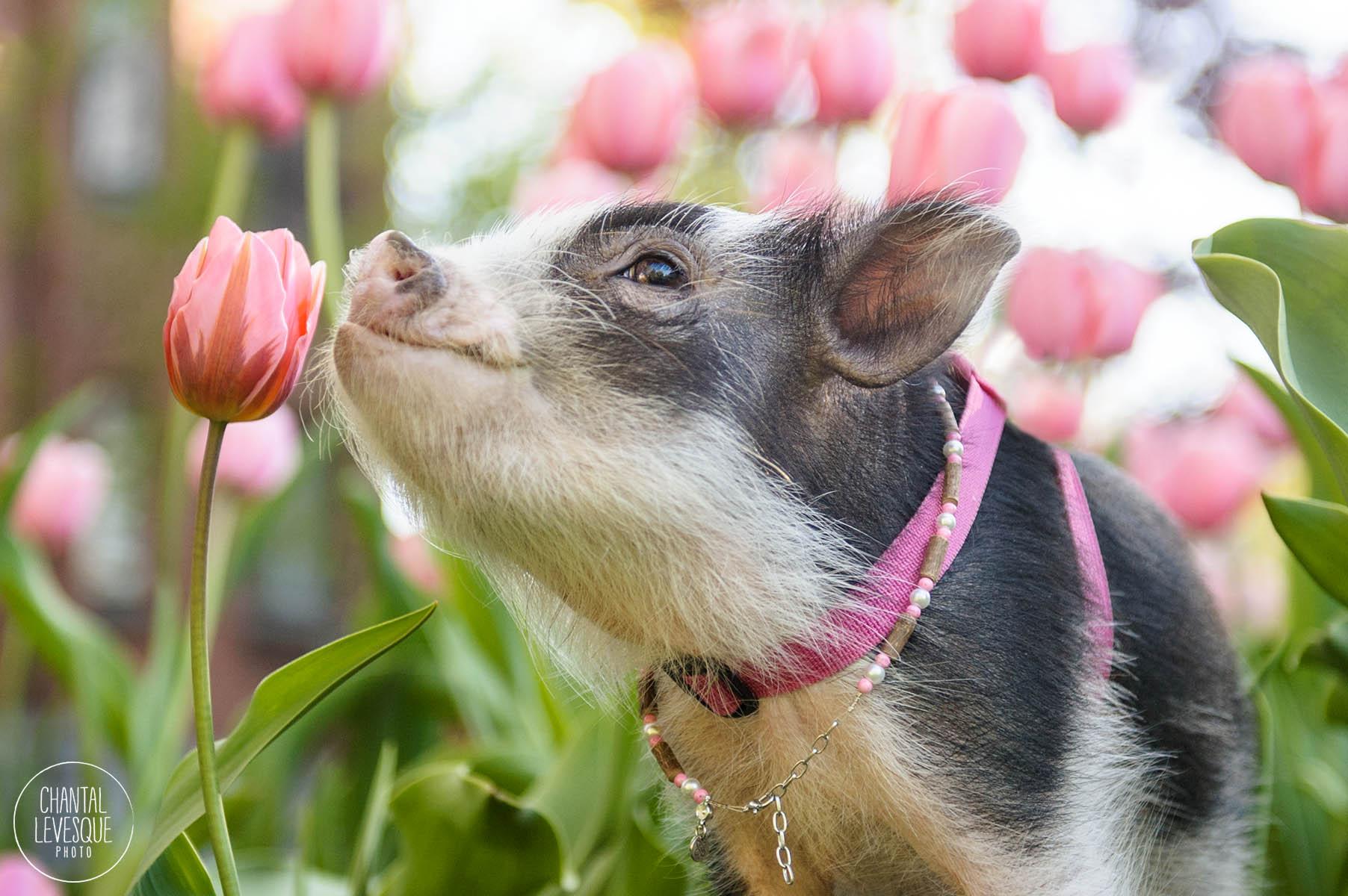 Fluffy le cochon de thérapie