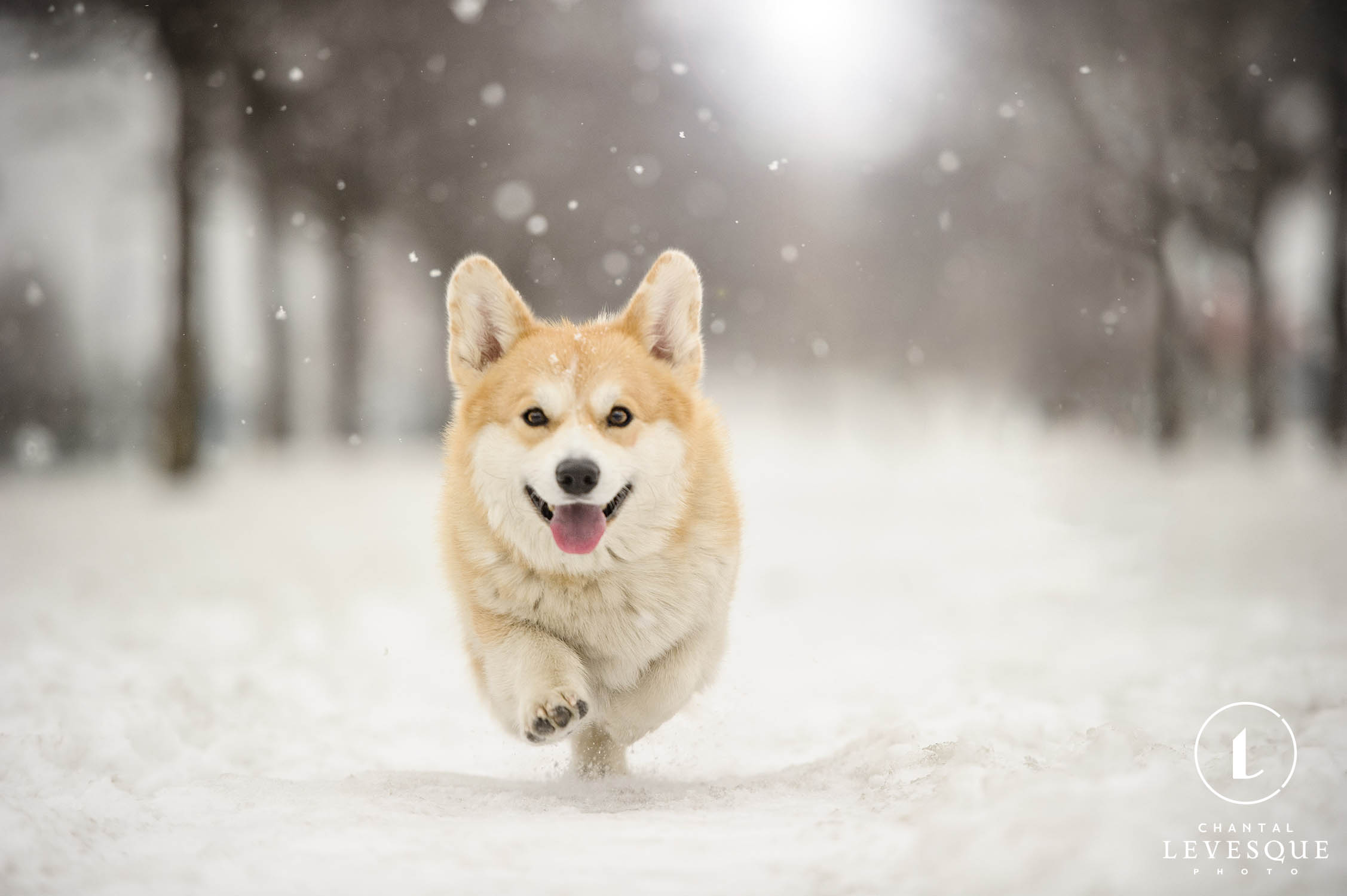 corgi-running-snow.jpg