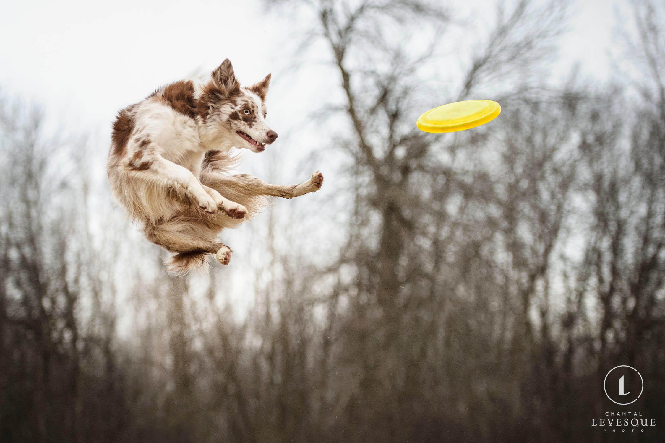 dog-jump-frisbee.jpg