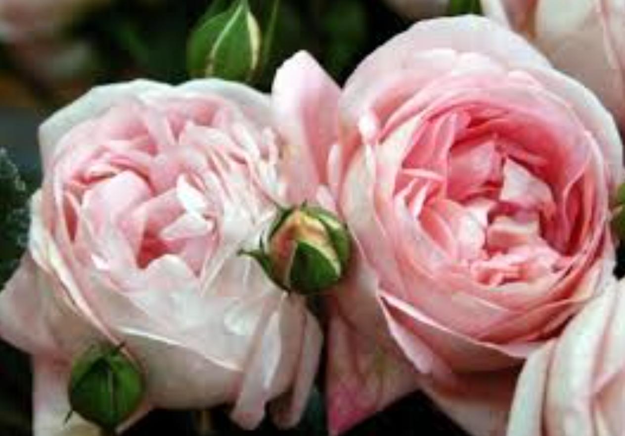 Garden Rose Houston