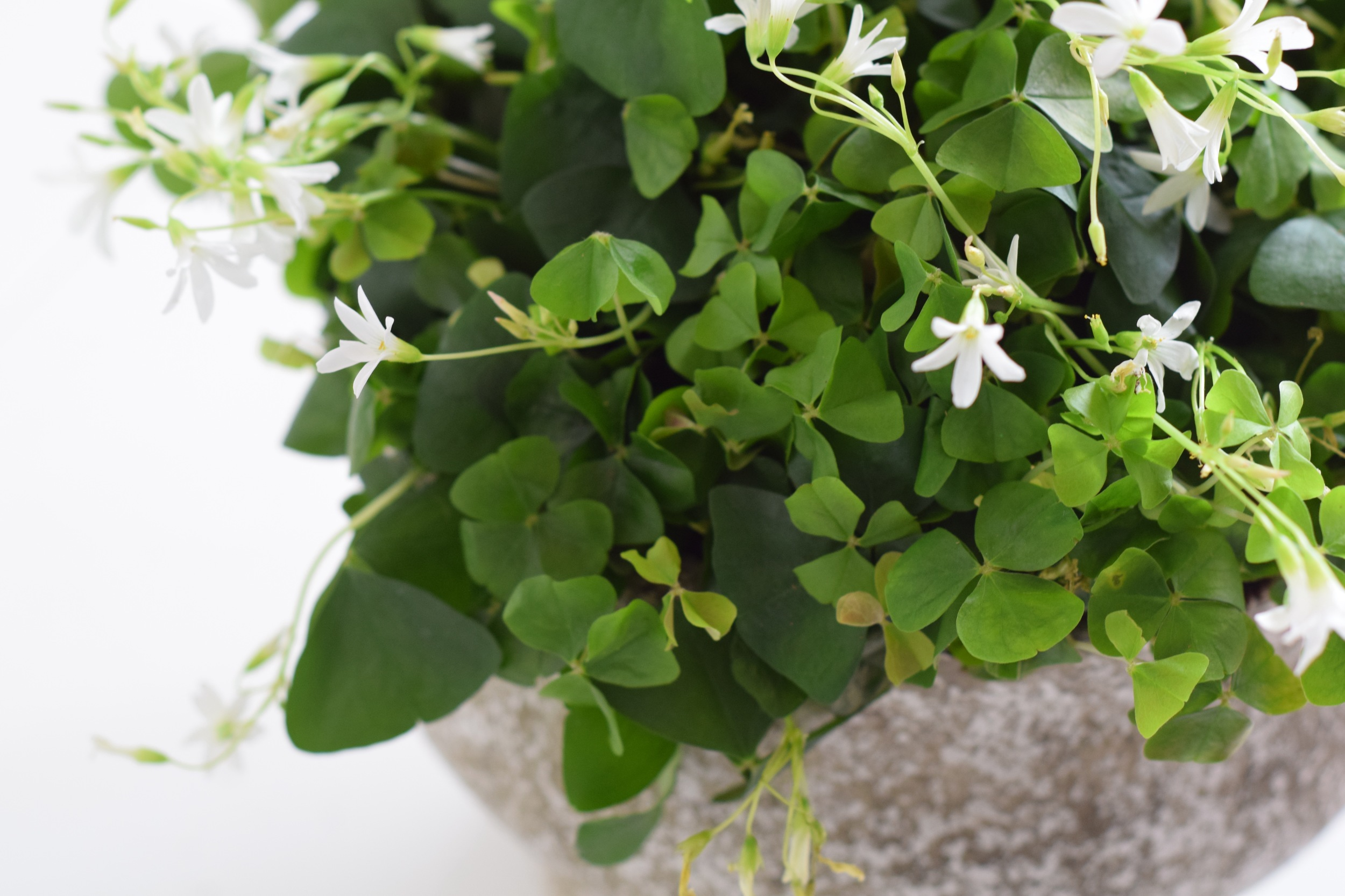 Clovers for St. Patrick's Day by Maxit Flower Design.