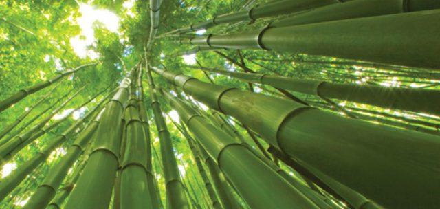 giant-bamboo-640x304.jpg