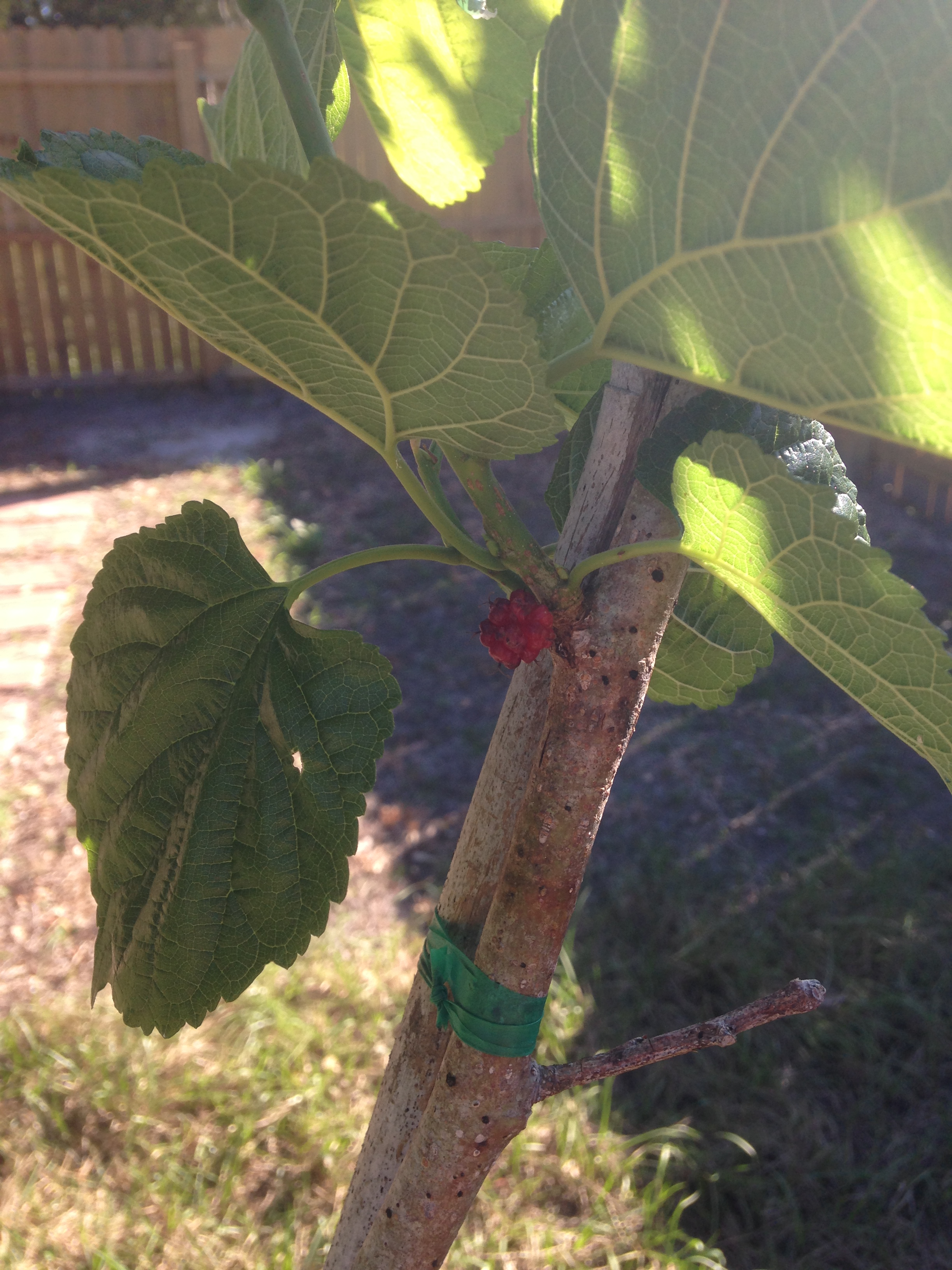 OUR FIRST MULBERRY