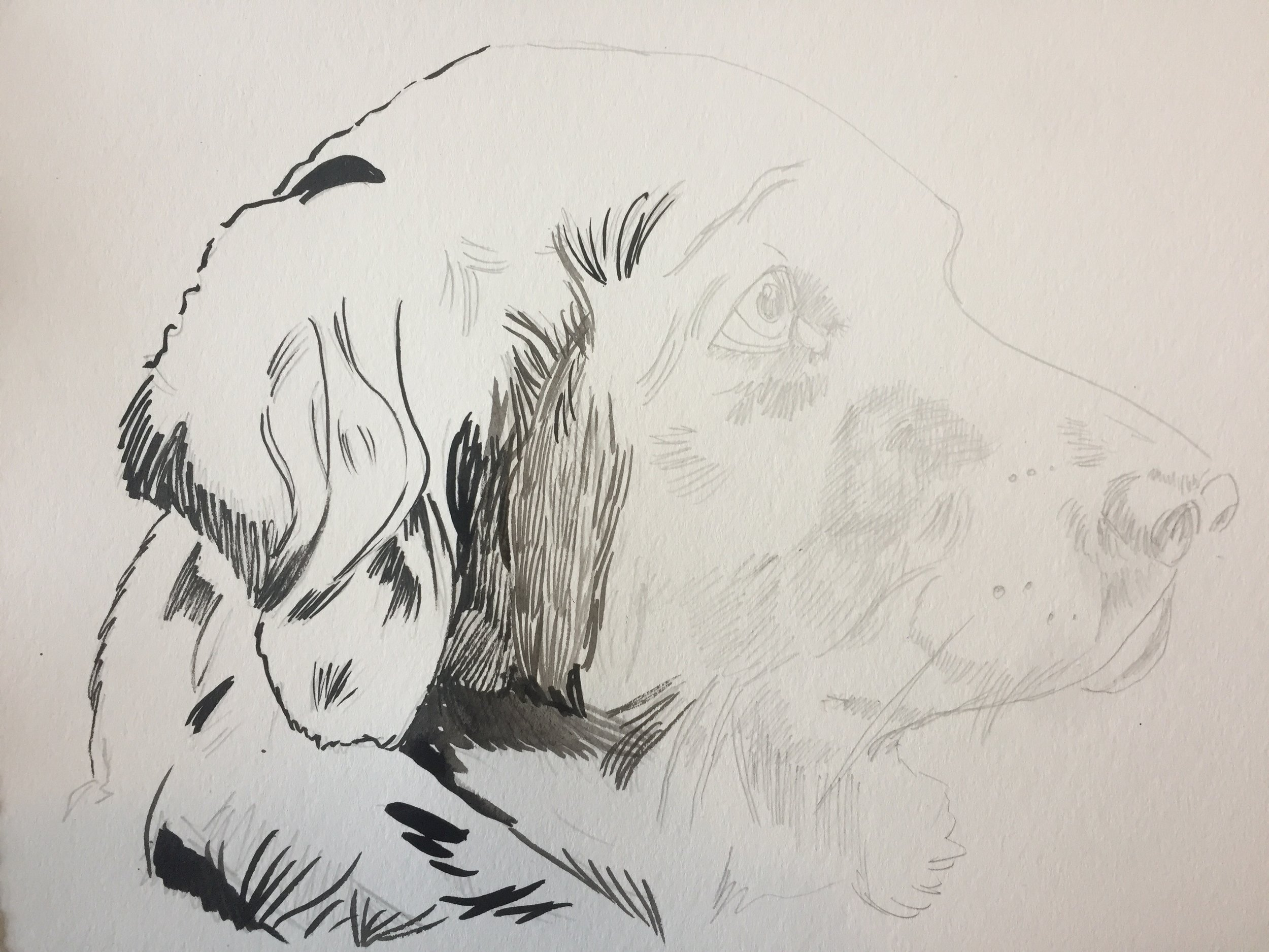 """I was very lucky to work on a picture of a gorgeous golden retriever; an incredibly beautiful dog to get to stare out for hours. I sketched her with a 3H drawing pencil (I only this semester learned that the letters and numbers that go with drawing pencil correspond with how dark they are. The H pencils are lighter -- H stands for """"Hardness"""" -- and the B pencils are darker -- B stands for """"Blackness""""); I like the lighter pencils for watercolors, although Peggy uses B pencils and her drawings are better than mine, so take your pick."""