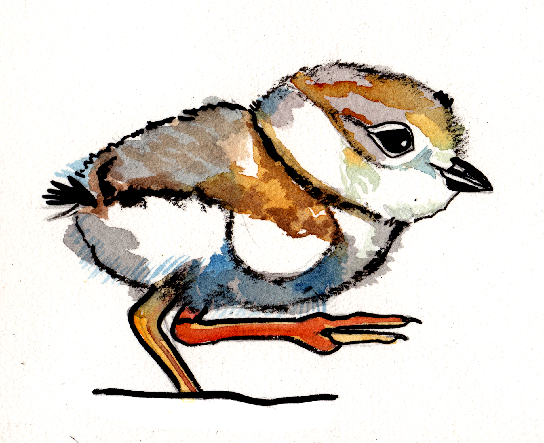 plover5.png