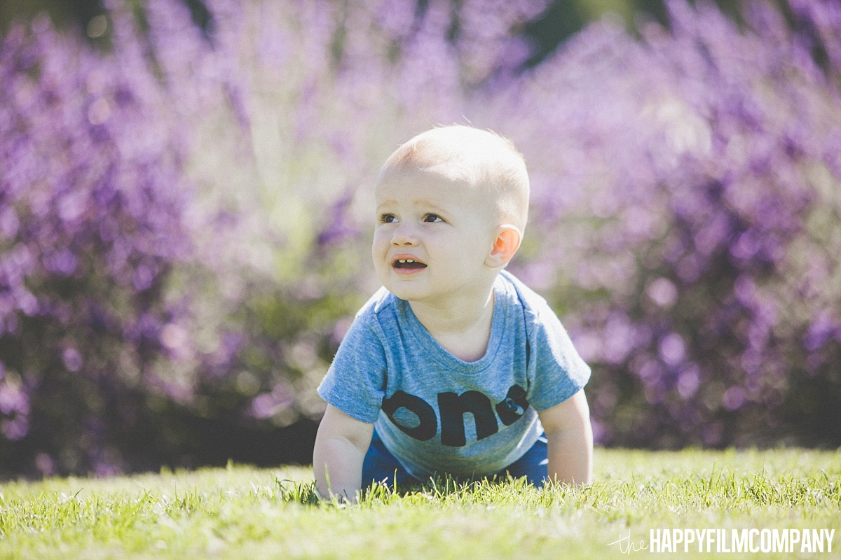 Little boy crawling in the lavender fields - the Happy Film Company - Seattle Mini Family Photo Shoots