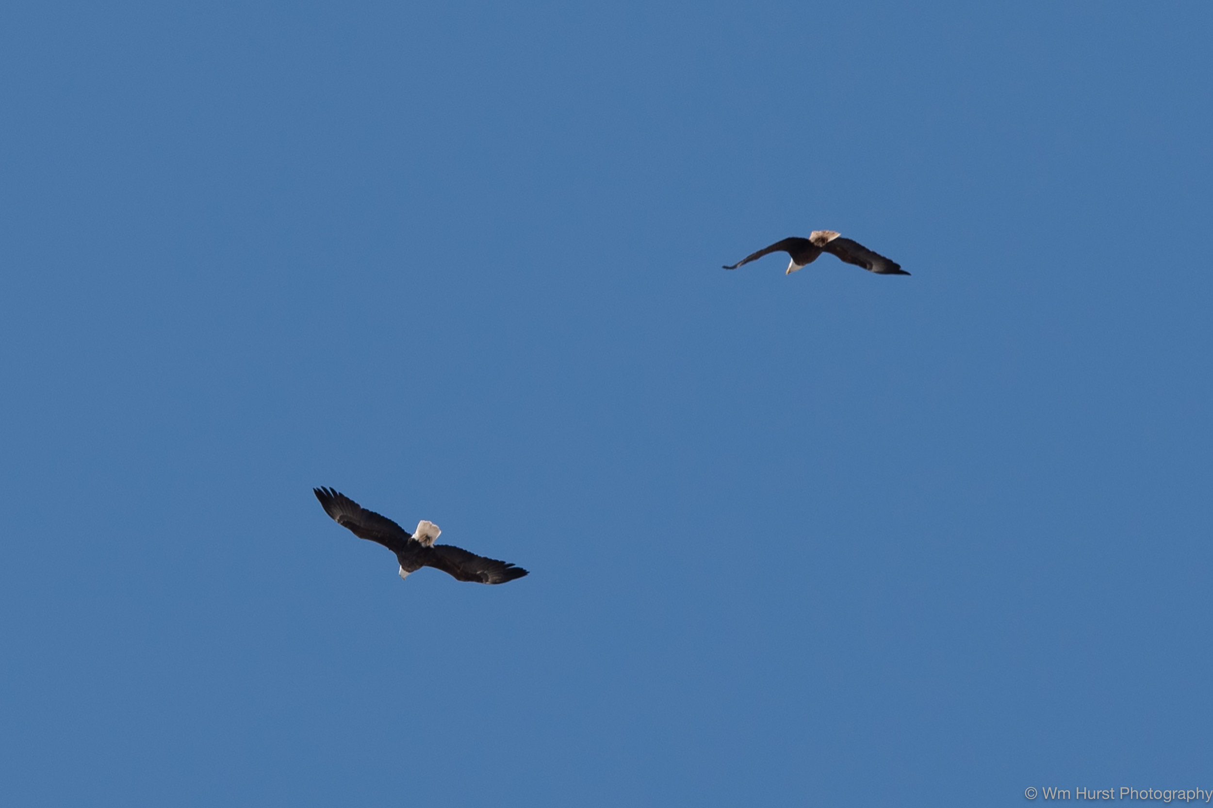 Eagles over the Marsh.
