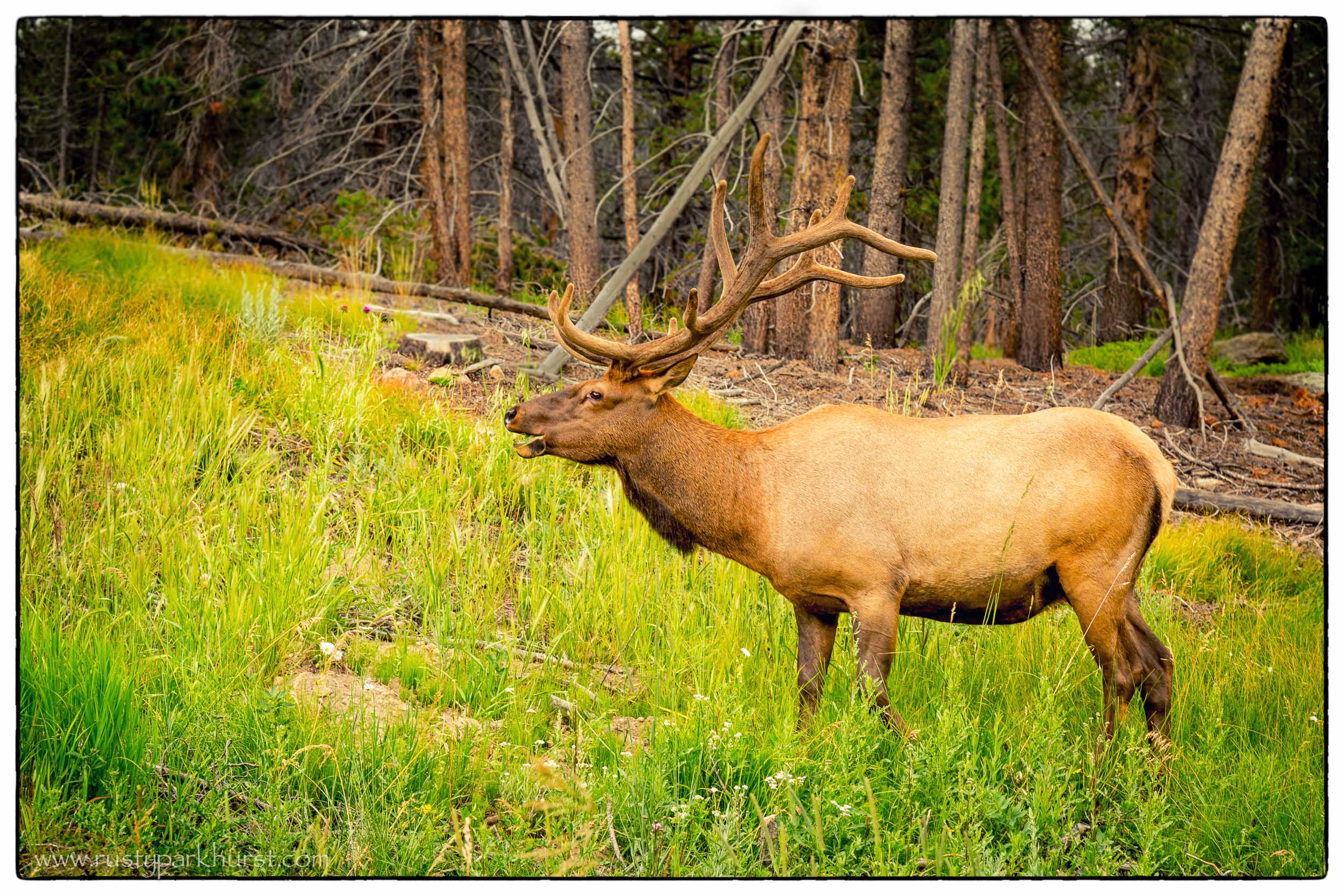 Elk, Rocky Mountain National Park